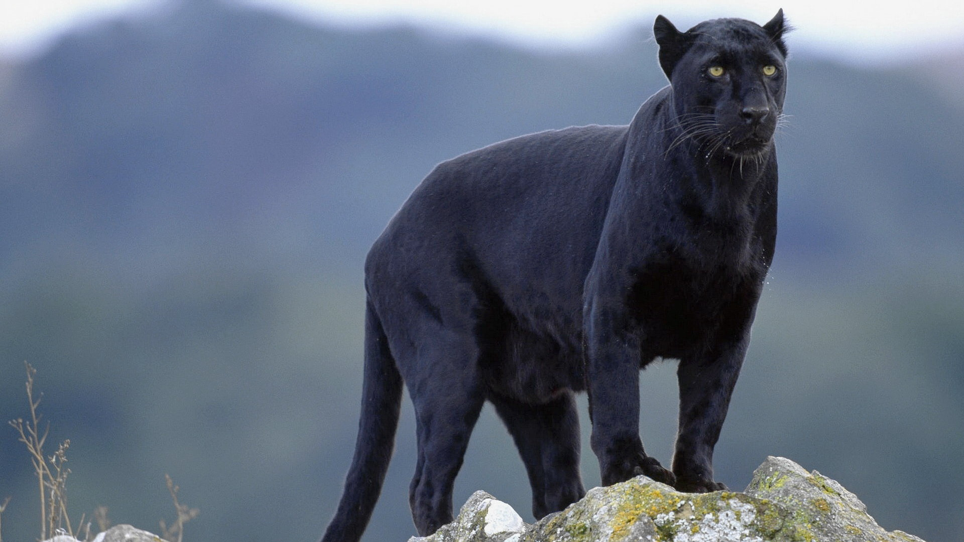 Awesome Panther free background ID:357201 for 1080p PC
