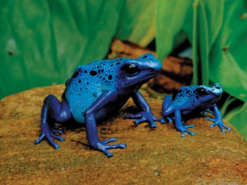 Free Poison Dart Frog high quality background ID:253505 for hd 1024x768 PC