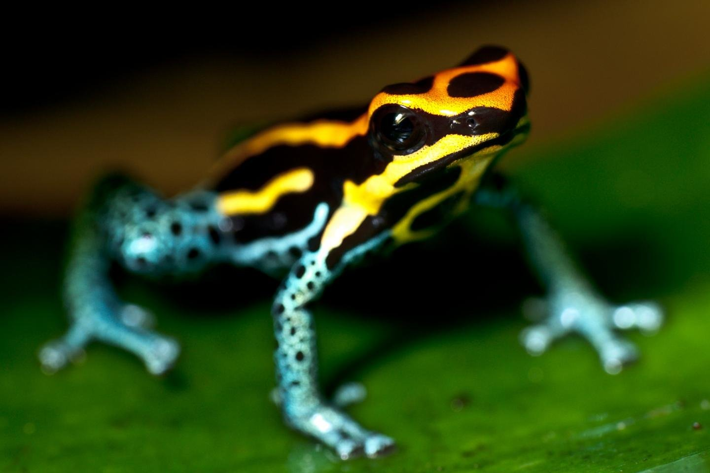 Awesome Poison Dart Frog free wallpaper ID:253496 for hd 1440x960 desktop
