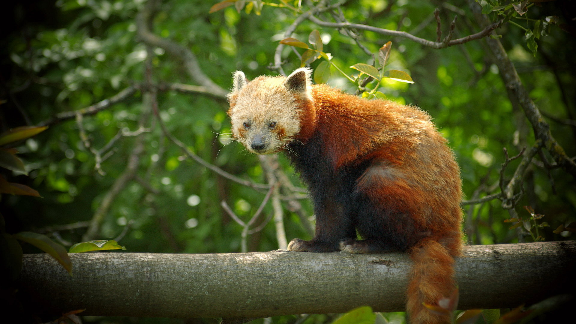 Awesome Red Panda free background ID:64019 for hd 1080p desktop