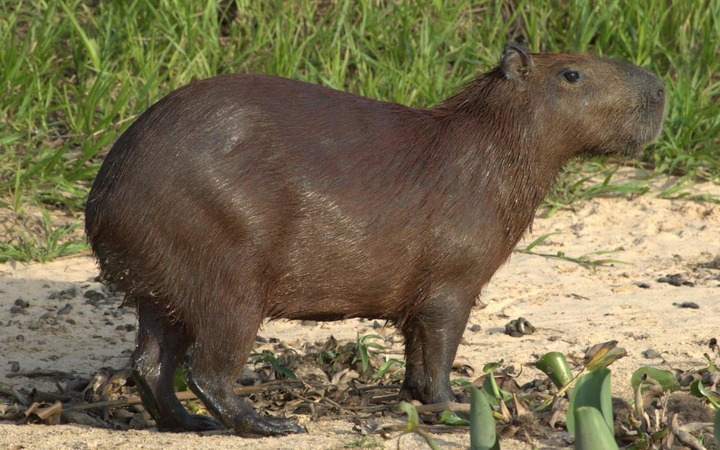 Best Capybara background ID:465263 for High Resolution hd 1440x900 PC