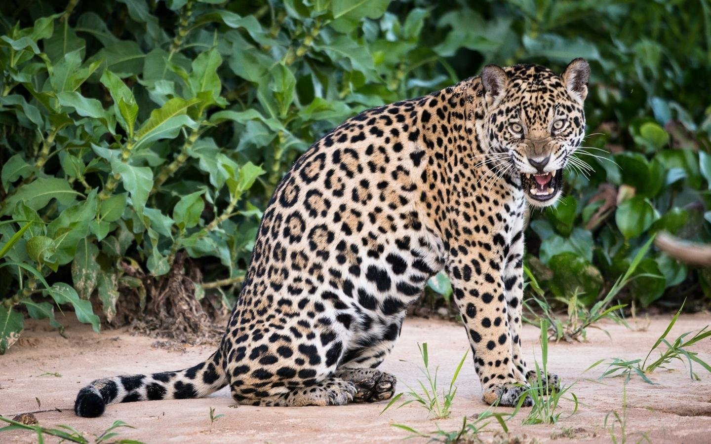 Free Jaguar high quality background ID:30200 for hd 1440x900 PC