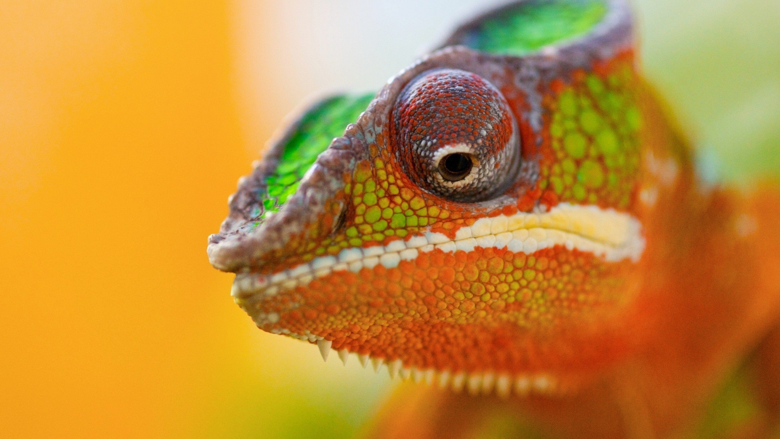 Free Chameleon high quality wallpaper ID:462565 for hd 2560x1440 computer