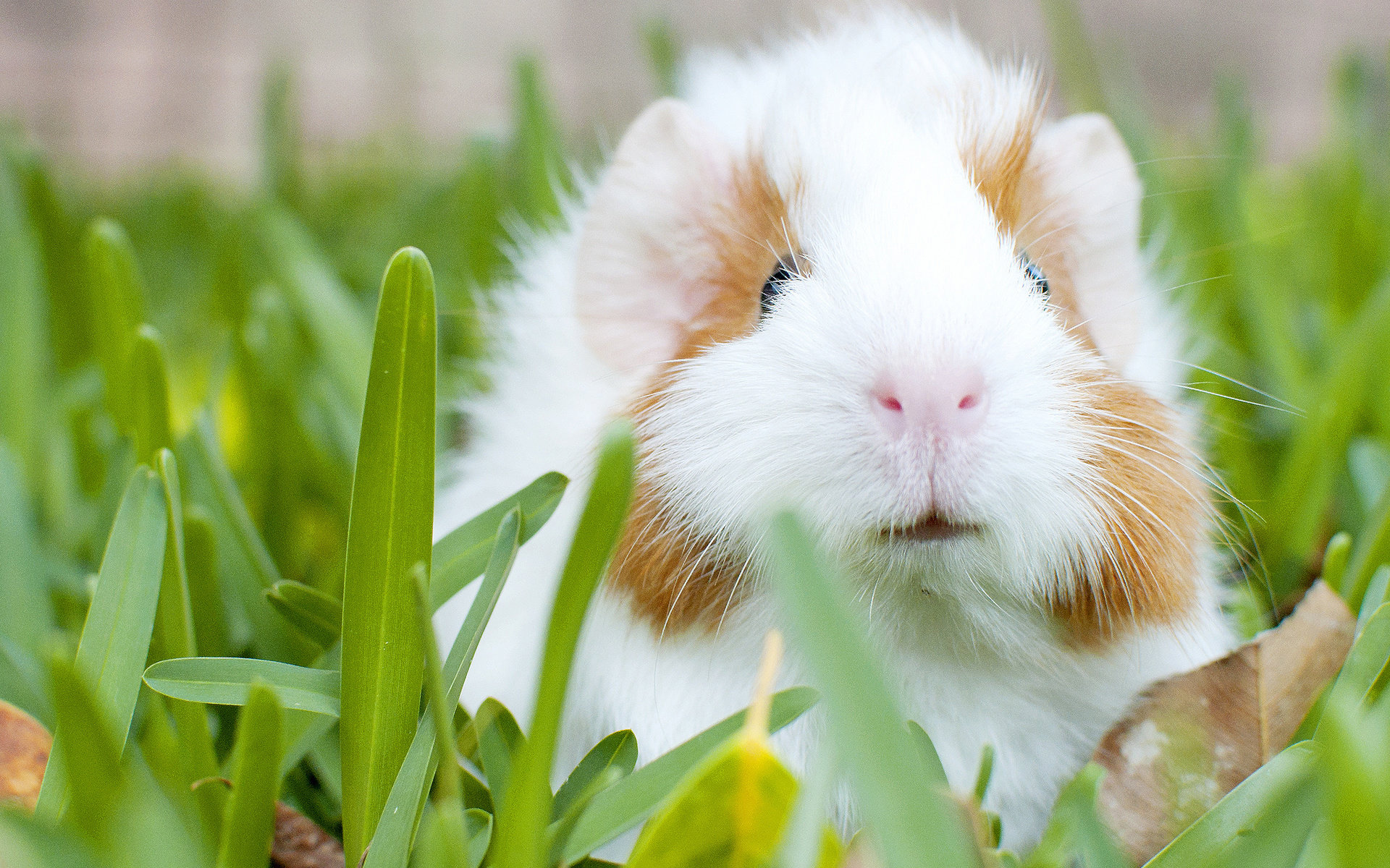 Download hd 1920x1200 Guinea Pig computer background ID:270961 for free