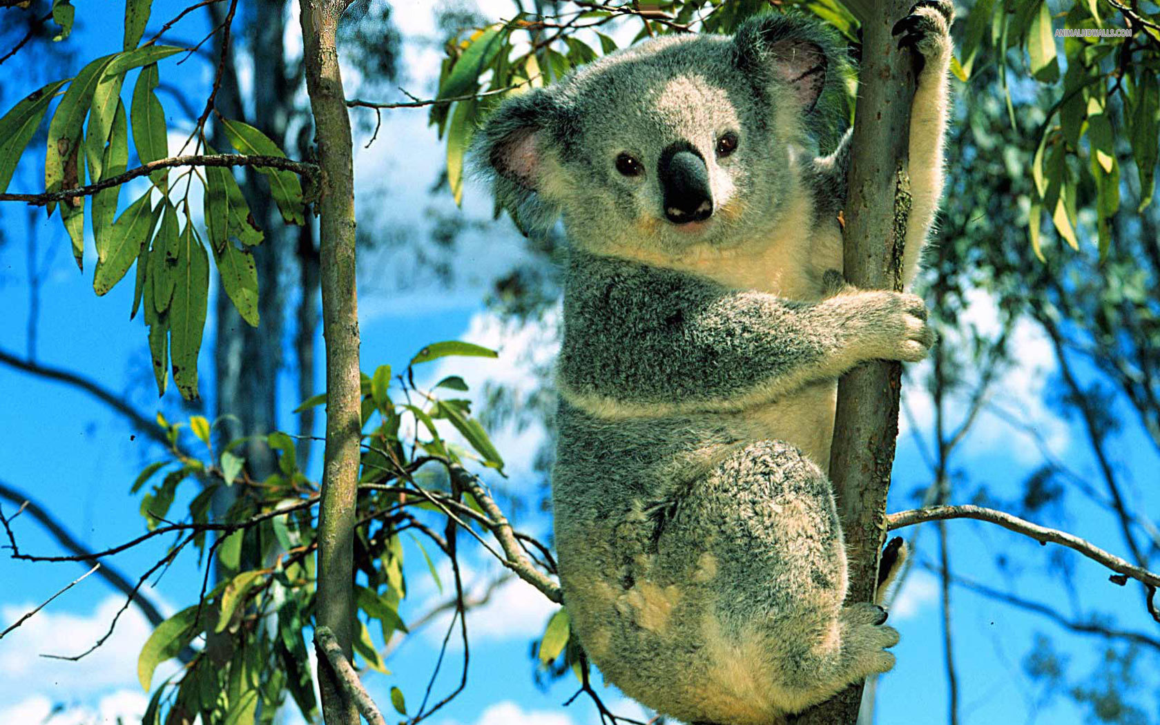 Download hd 1680x1050 Koala computer background ID:74262 for free