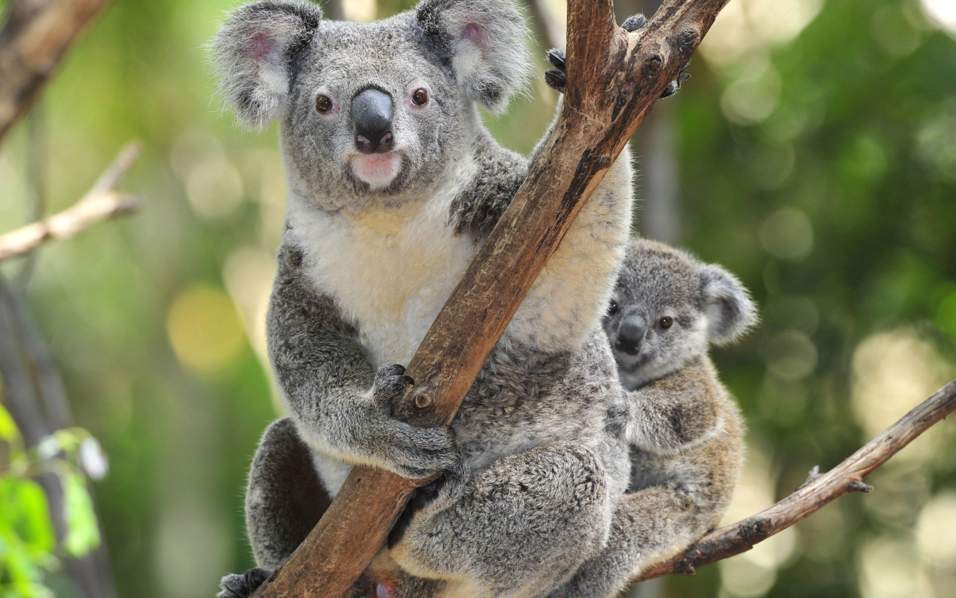 Best Koala background ID:74235 for High Resolution hd 1920x1200 PC