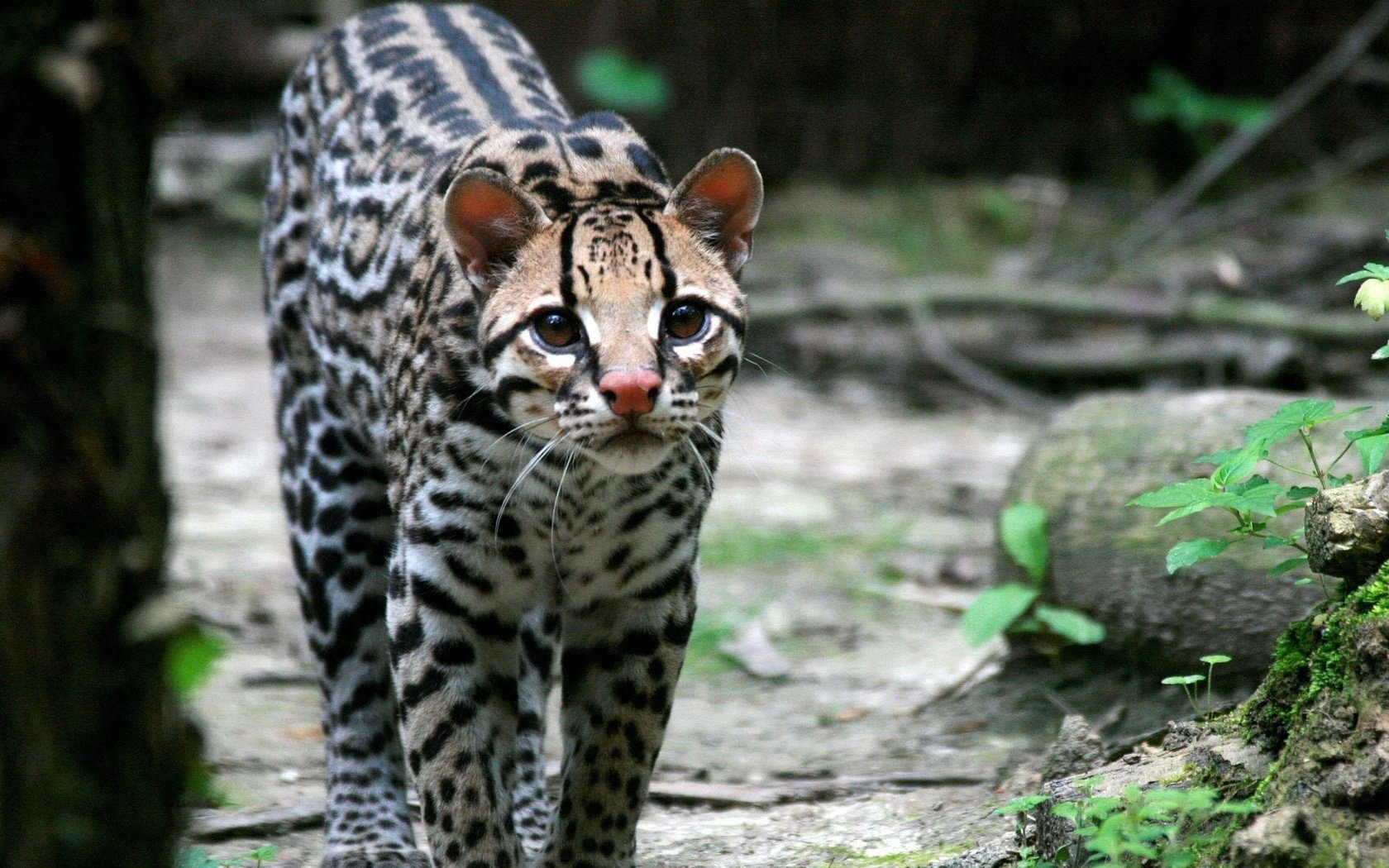 Awesome Ocelot free wallpaper ID:146299 for hd 1680x1050 computer