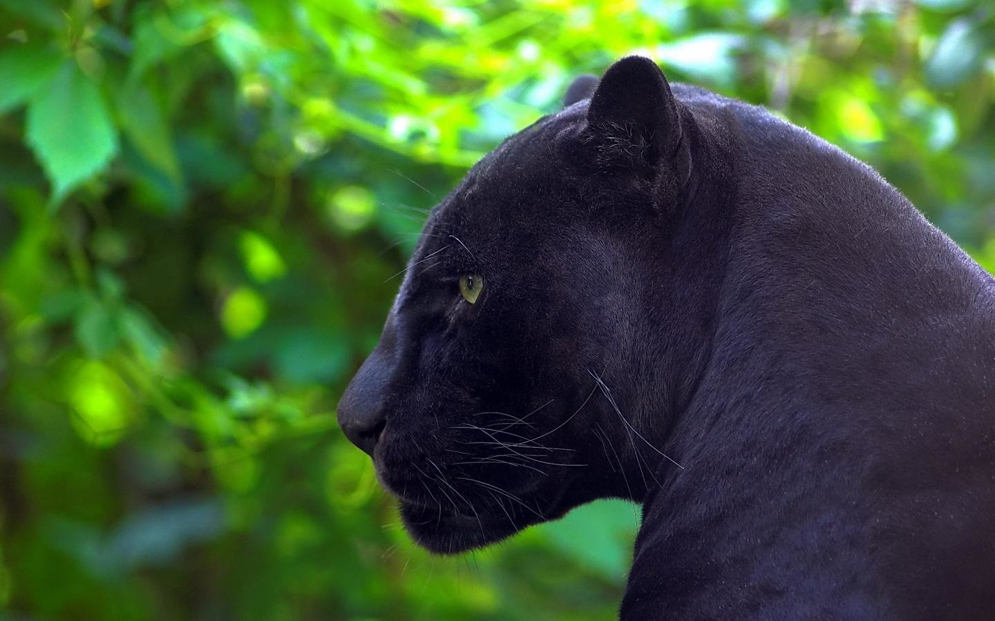 High resolution Panther hd 1440x900 background ID:357147 for computer