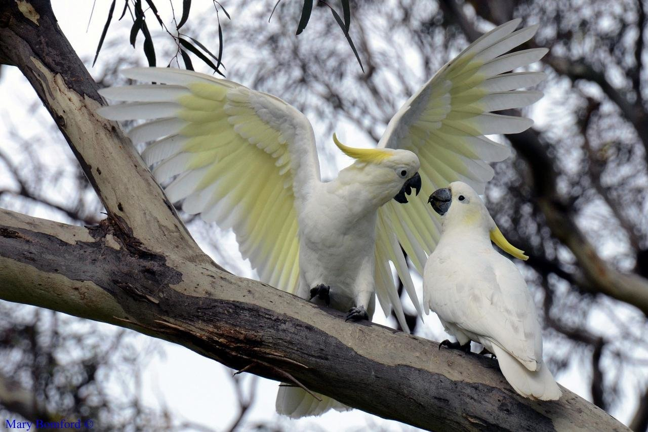 Best Sulphur-crested Cockatoo background ID:130242 for High Resolution hd 1280x854 PC