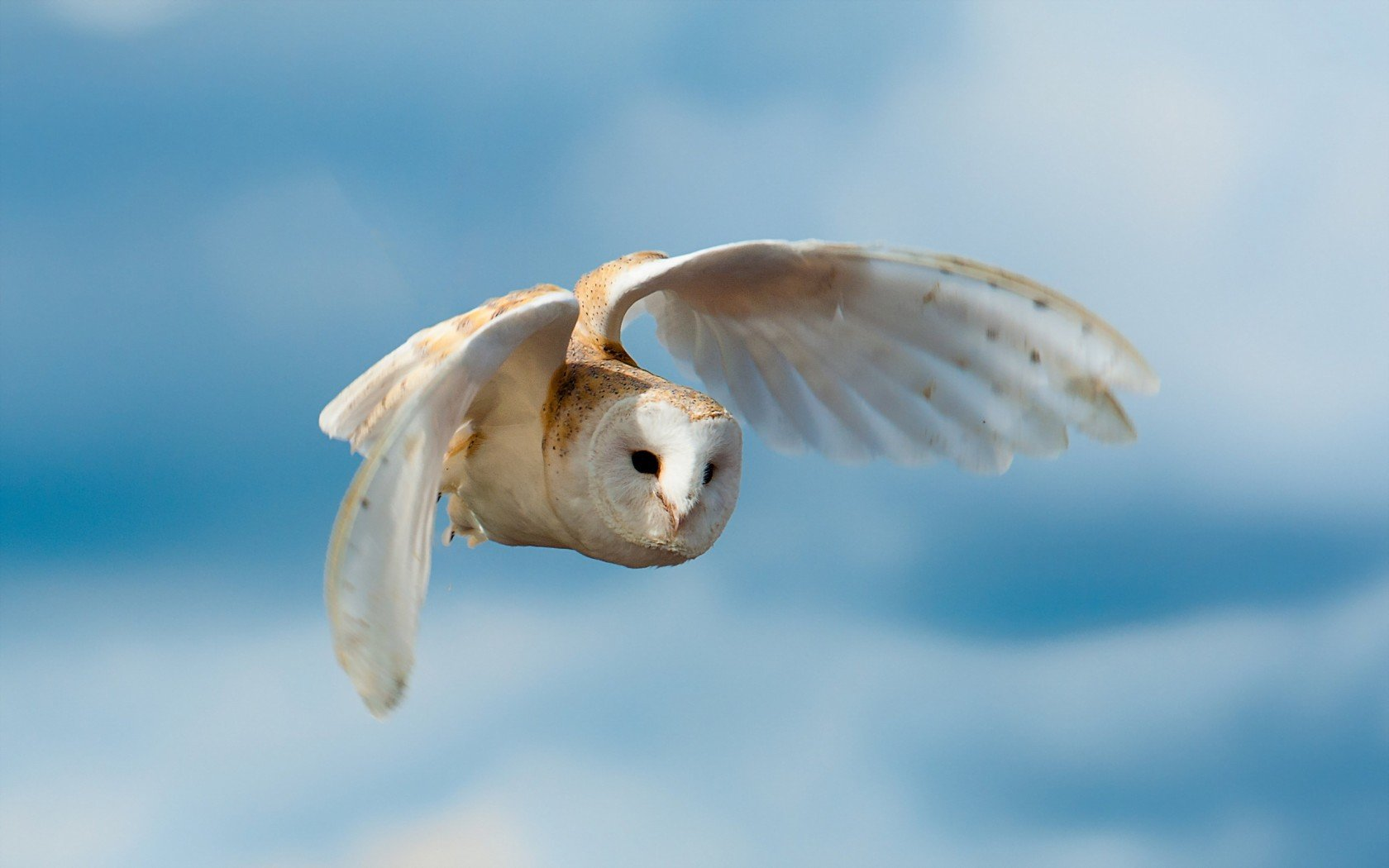 Free download Barn Owl background ID:81570 hd 1680x1050 for desktop