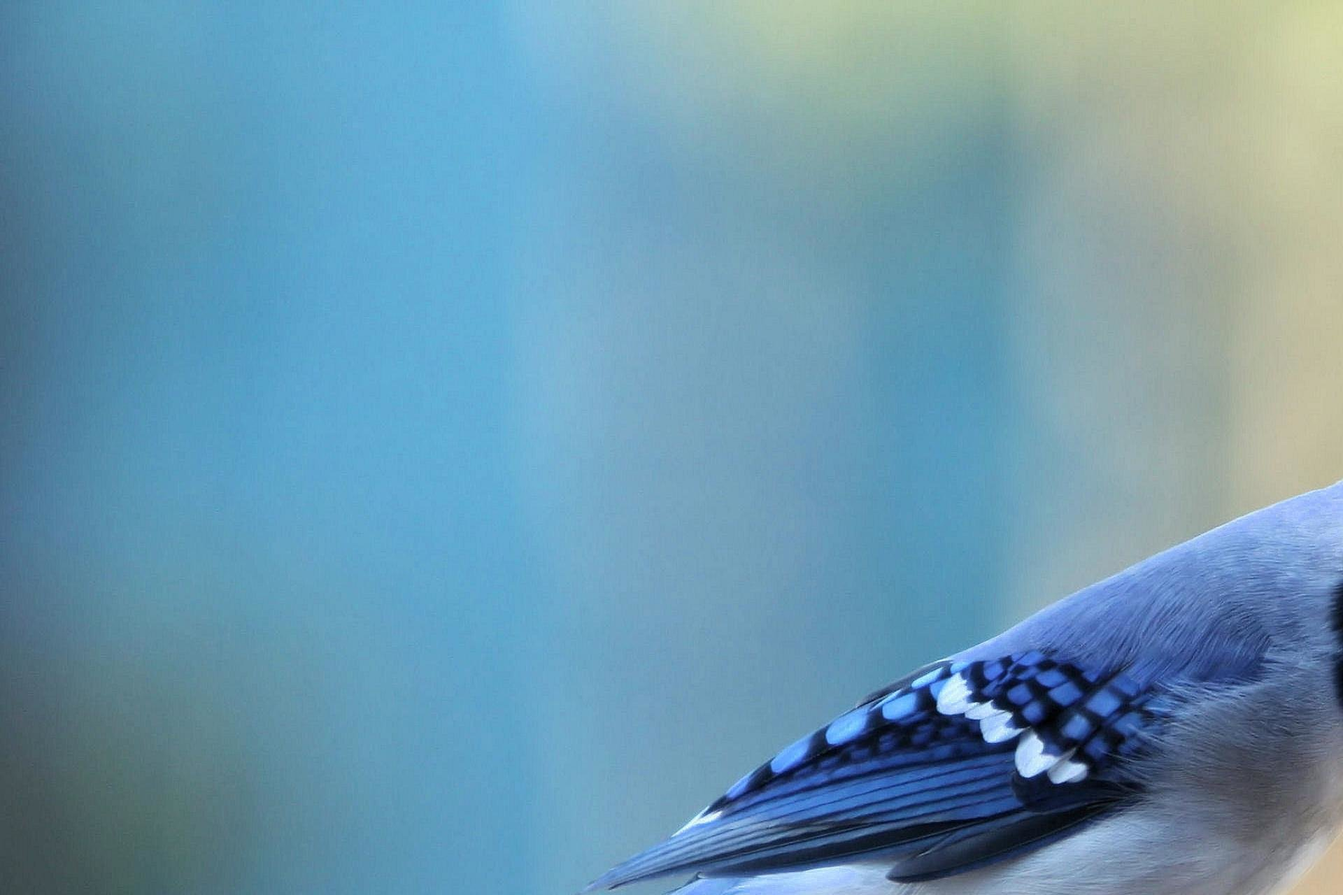 Best Blue Jay background ID:158372 for High Resolution hd 1920x1280 desktop
