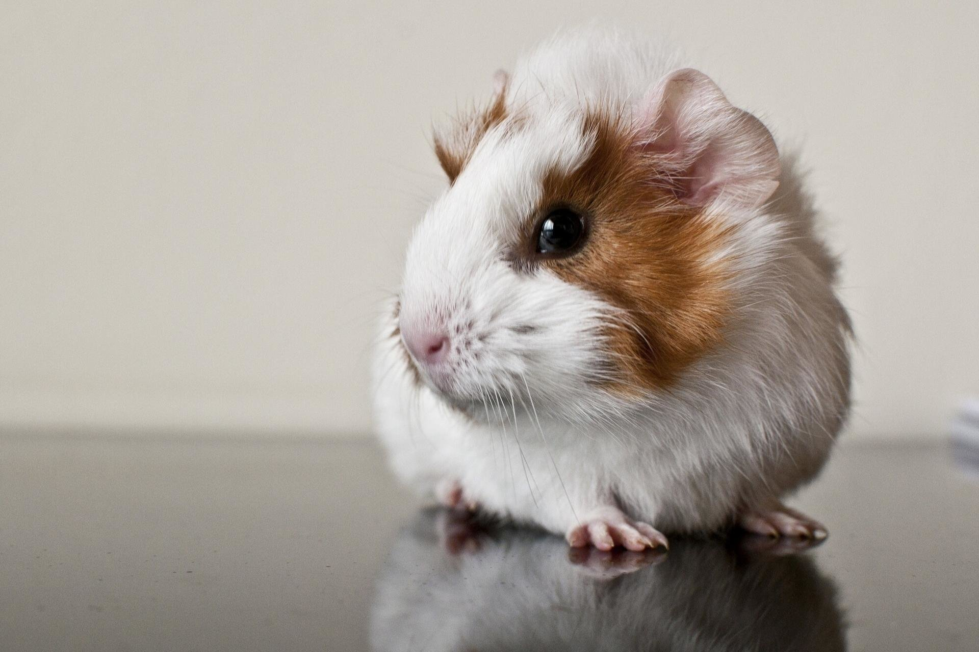 Best Guinea Pig background ID:270955 for High Resolution hd 1920x1280 computer