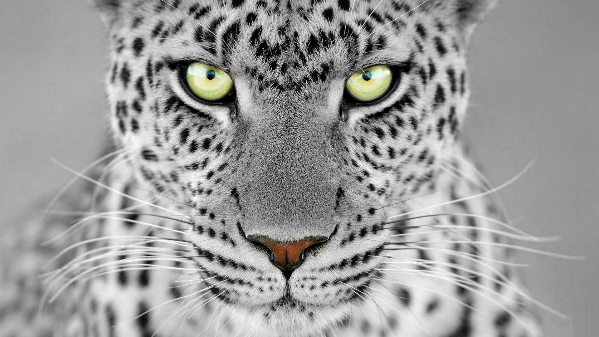 Awesome Leopard free background ID:447964 for 1080p desktop