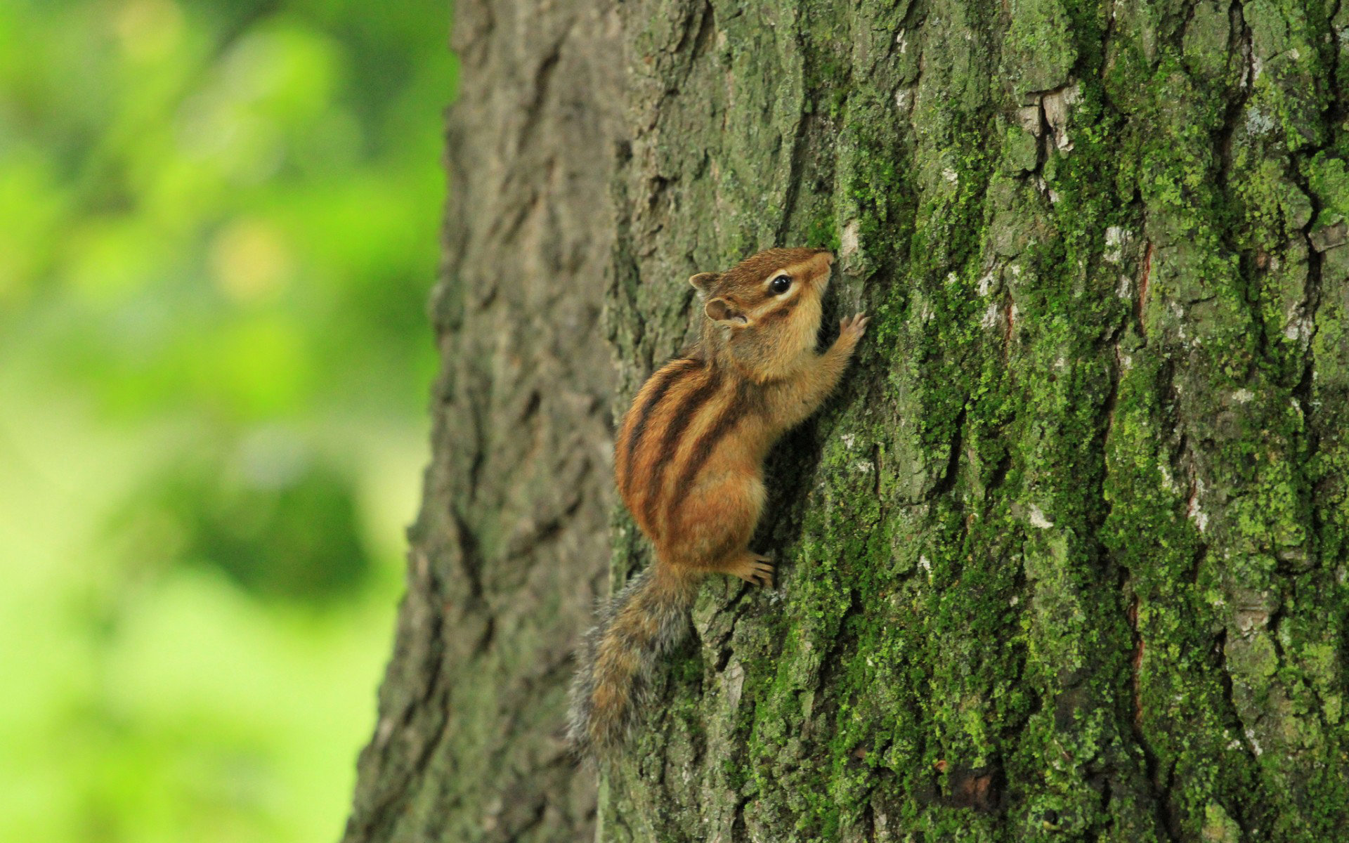 Awesome Chipmunk free wallpaper ID:323070 for hd 1920x1200 PC