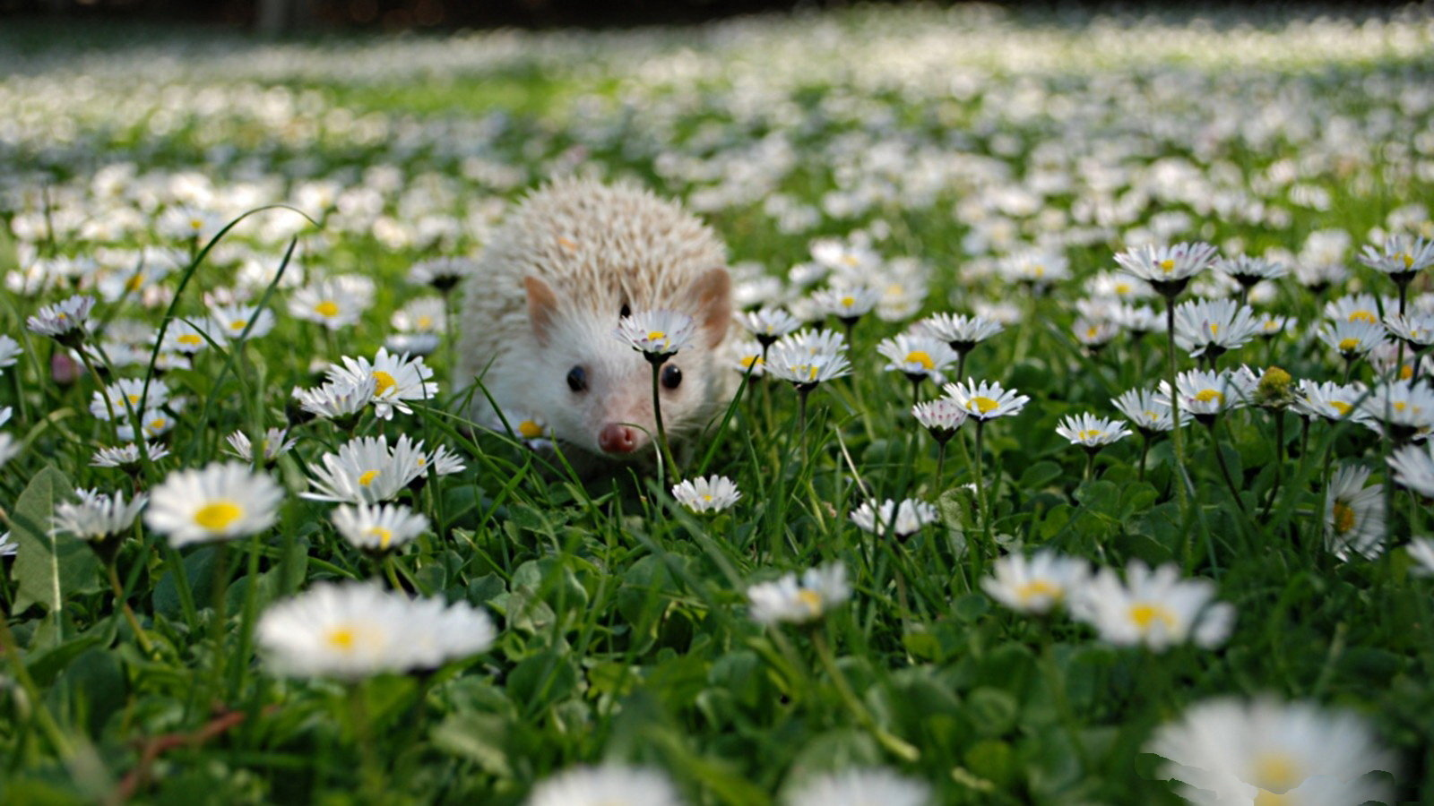 Awesome Hedgehog free wallpaper ID:241772 for hd 1600x900 PC