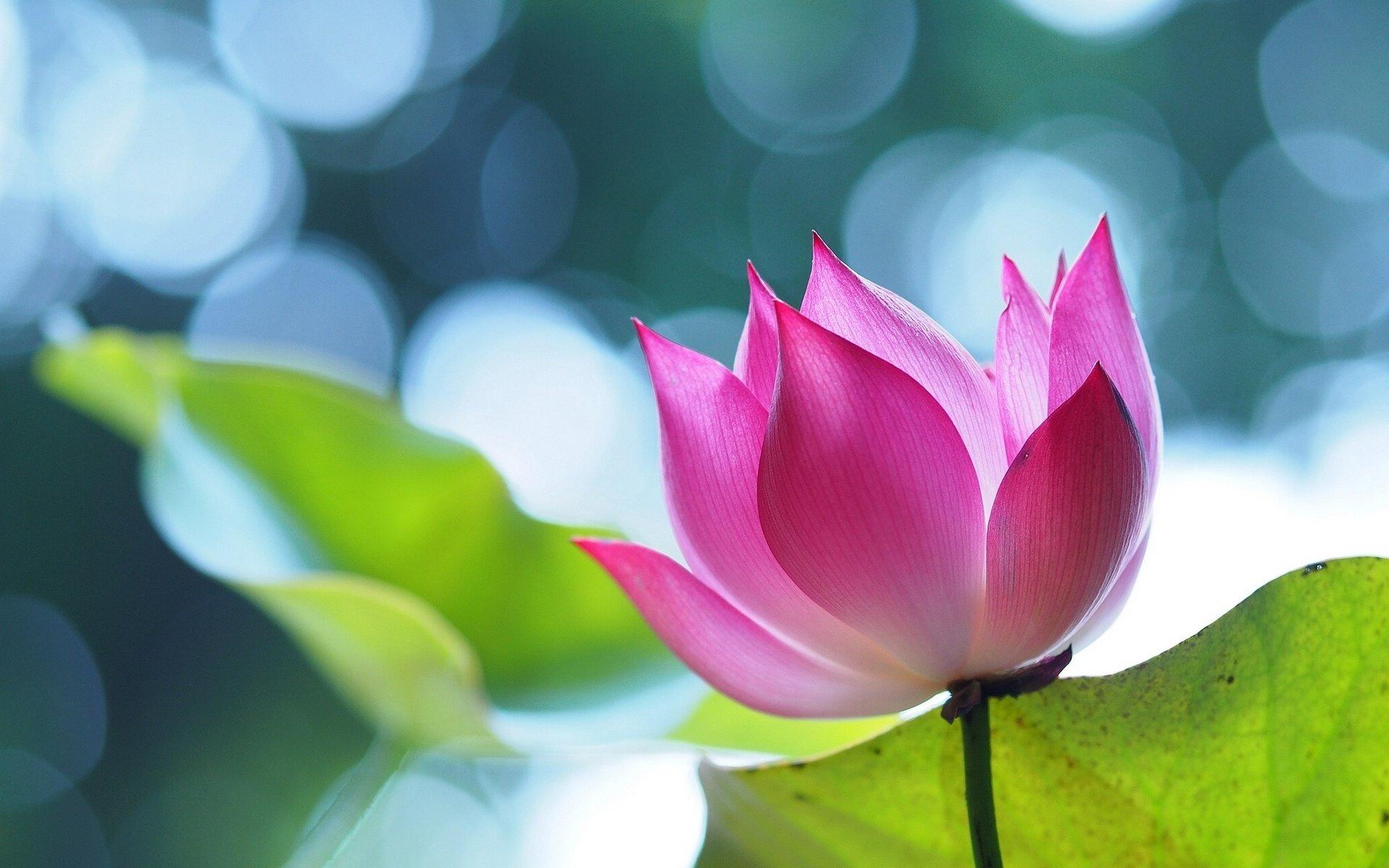Download Hd 1920x1200 Lotus Flower Desktop Wallpaper Id