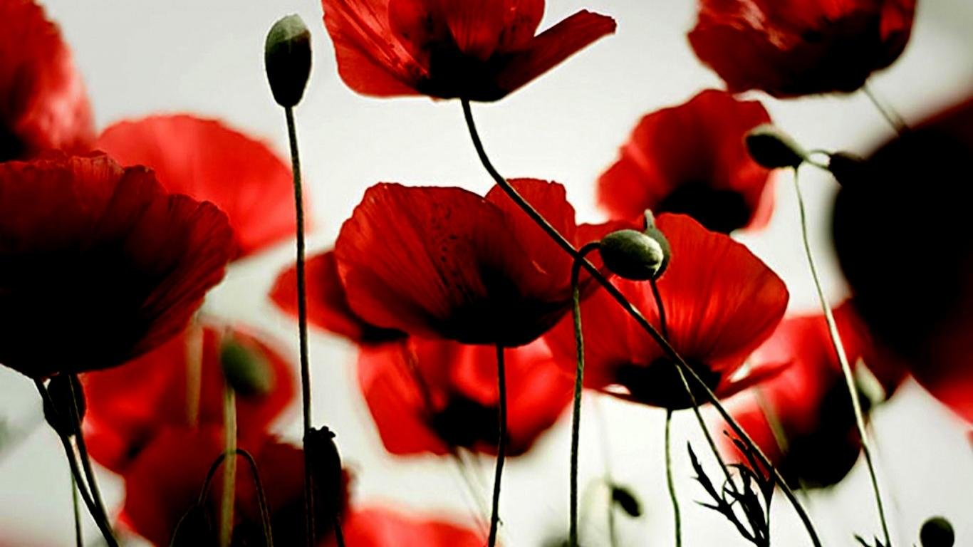 Free Poppy high quality wallpaper ID:99781 for hd 1366x768 computer