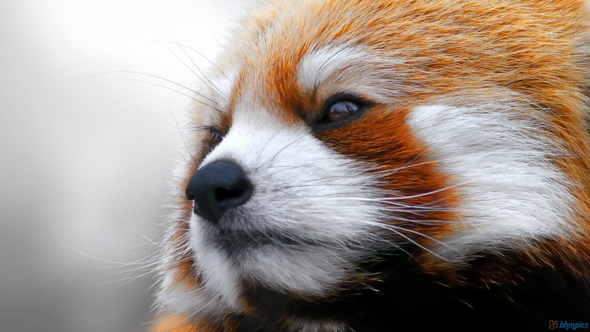 Awesome Red Panda free wallpaper ID:63992 for hd 1080p desktop