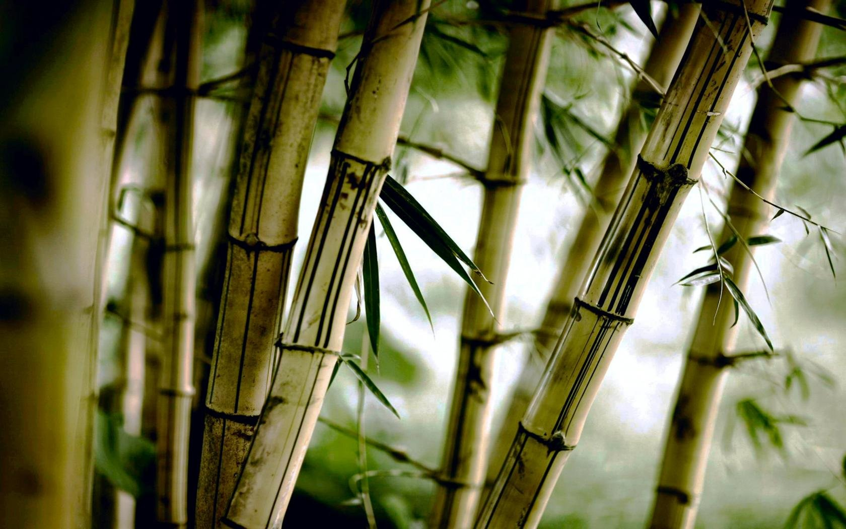 Best Bamboo background ID:246774 for High Resolution hd 1680x1050 computer