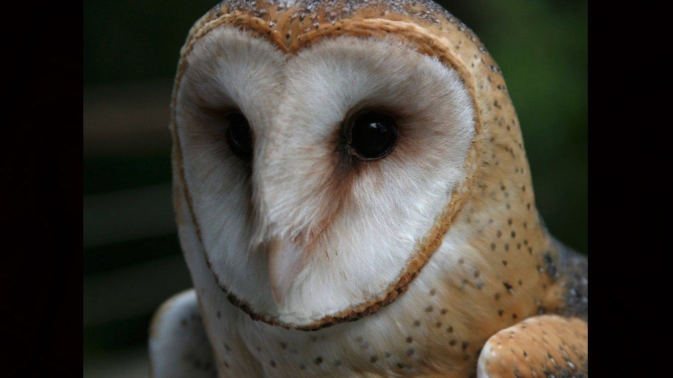 Awesome Barn Owl free background ID:81558 for hd 1366x768 PC