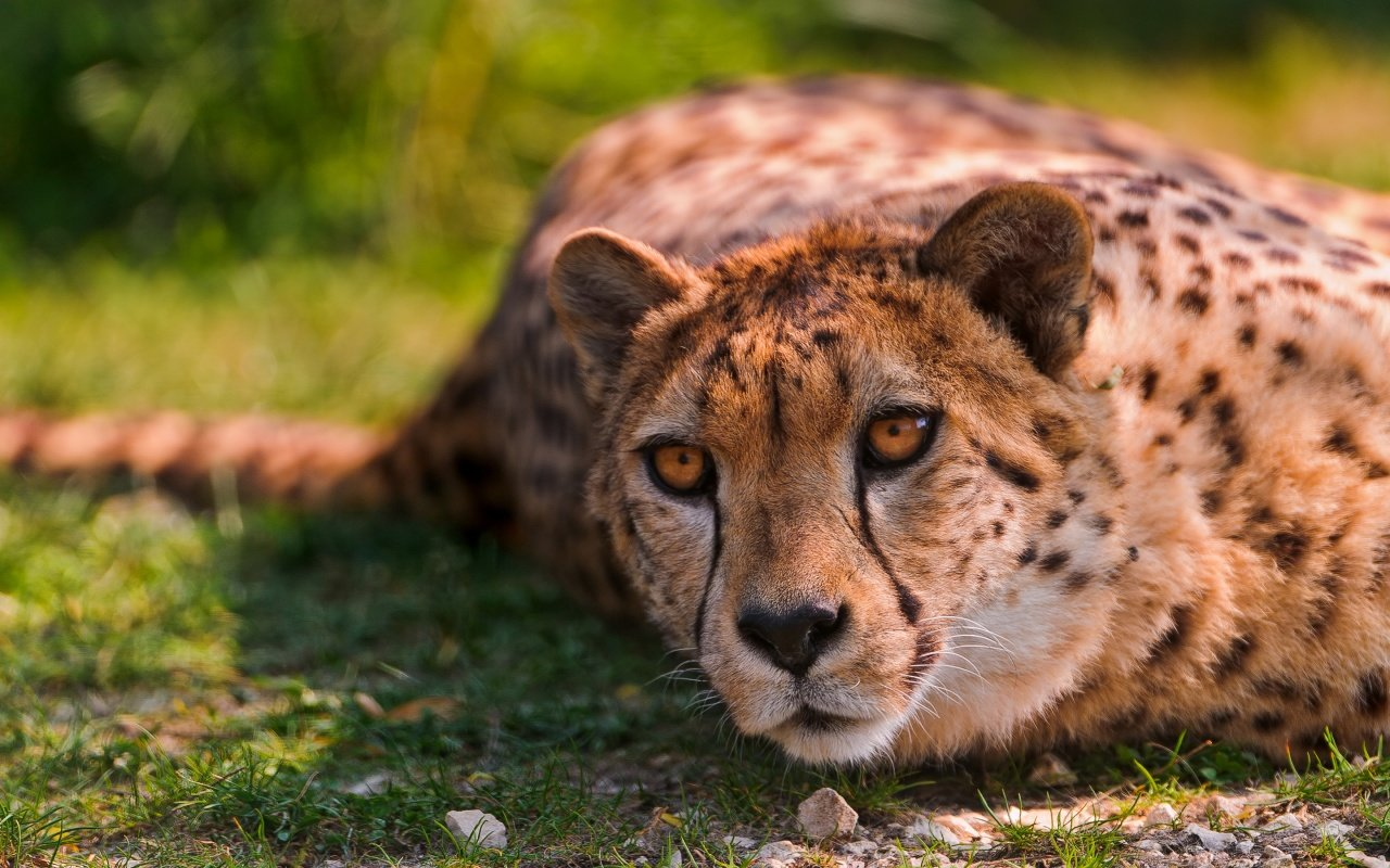 High resolution Cheetah hd 1280x800 background ID:161768 for PC
