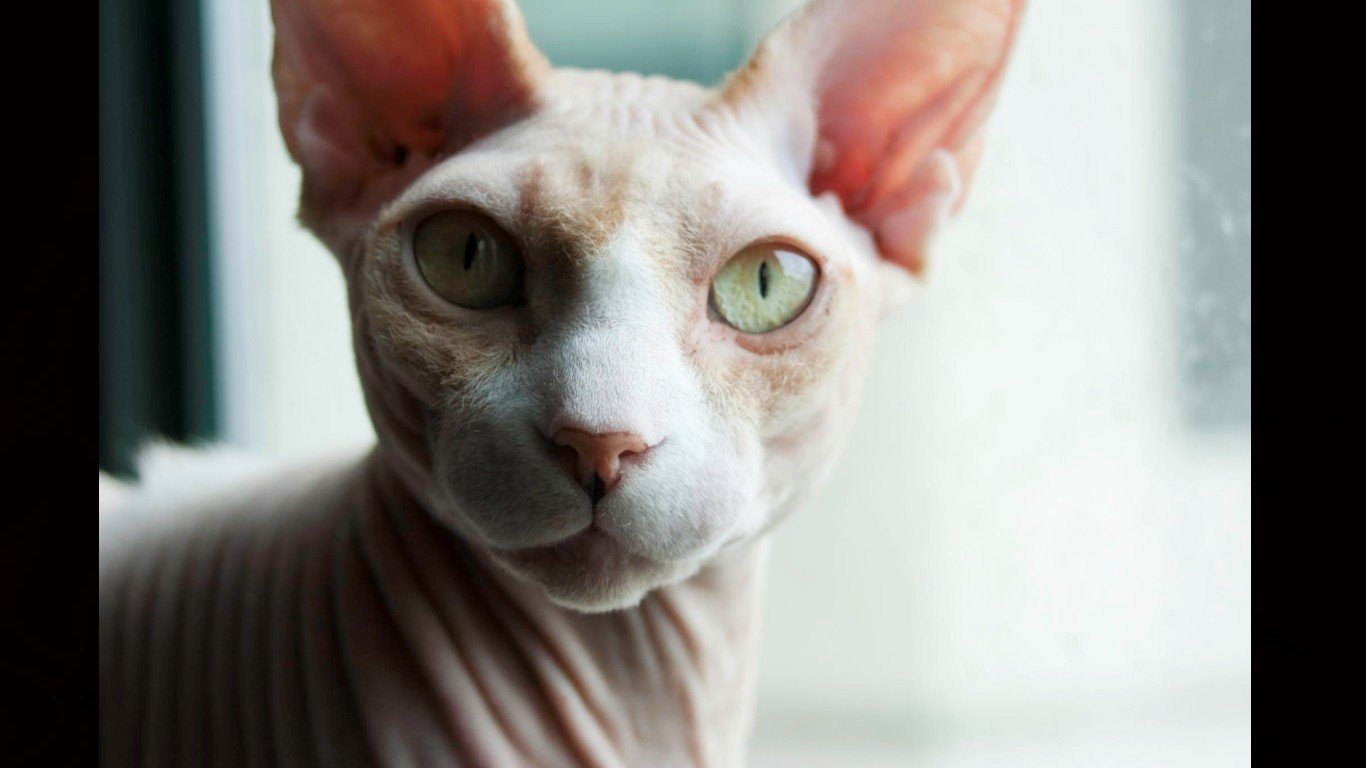 Free Sphynx Cat high quality background ID:449310 for hd 1366x768 computer