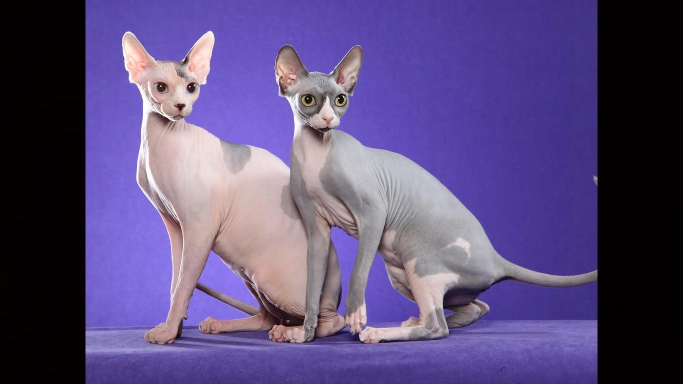 Free download Sphynx Cat background ID:449313 hd 1366x768 for PC