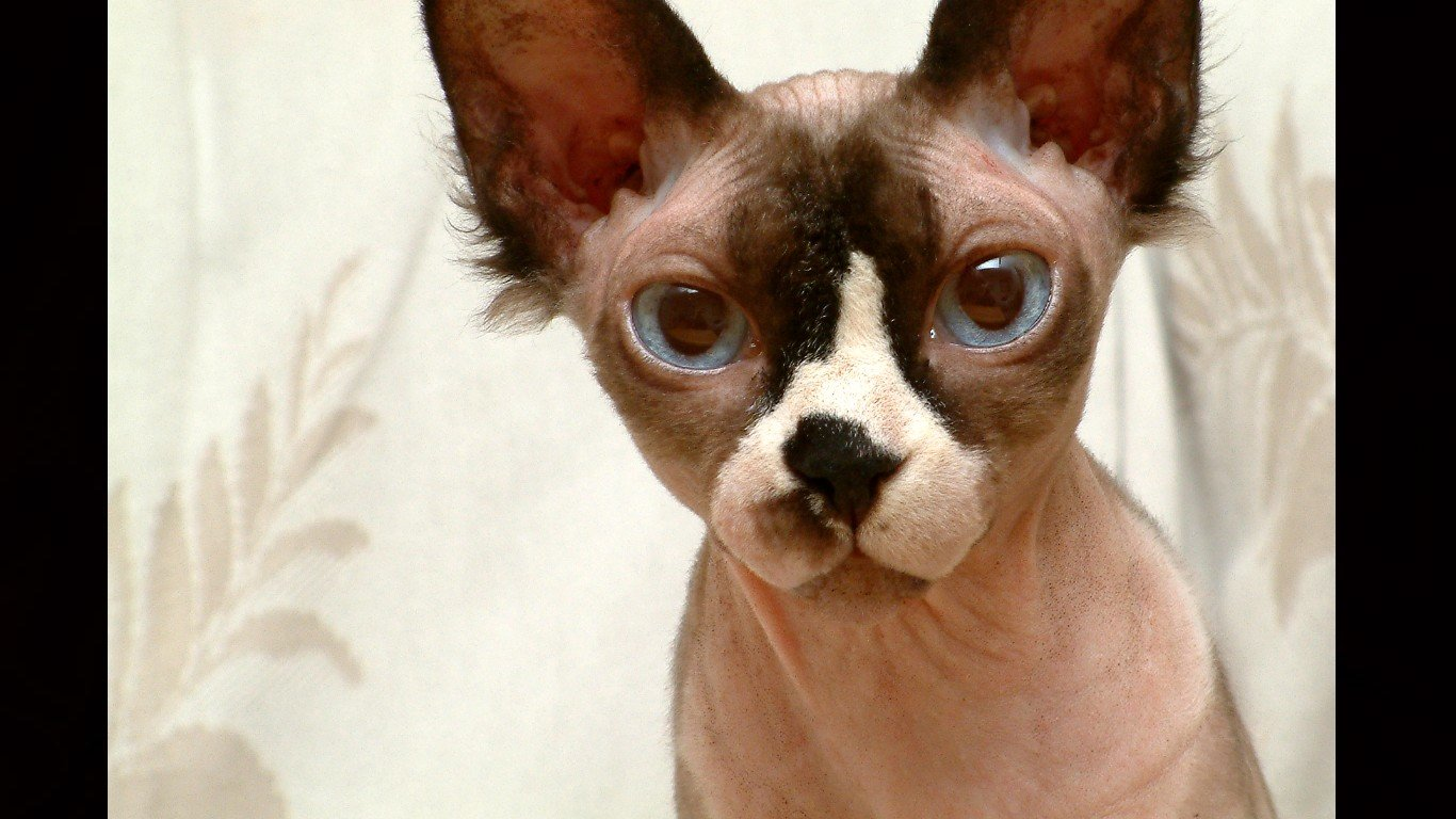 Download laptop Sphynx Cat PC background ID:449303 for free