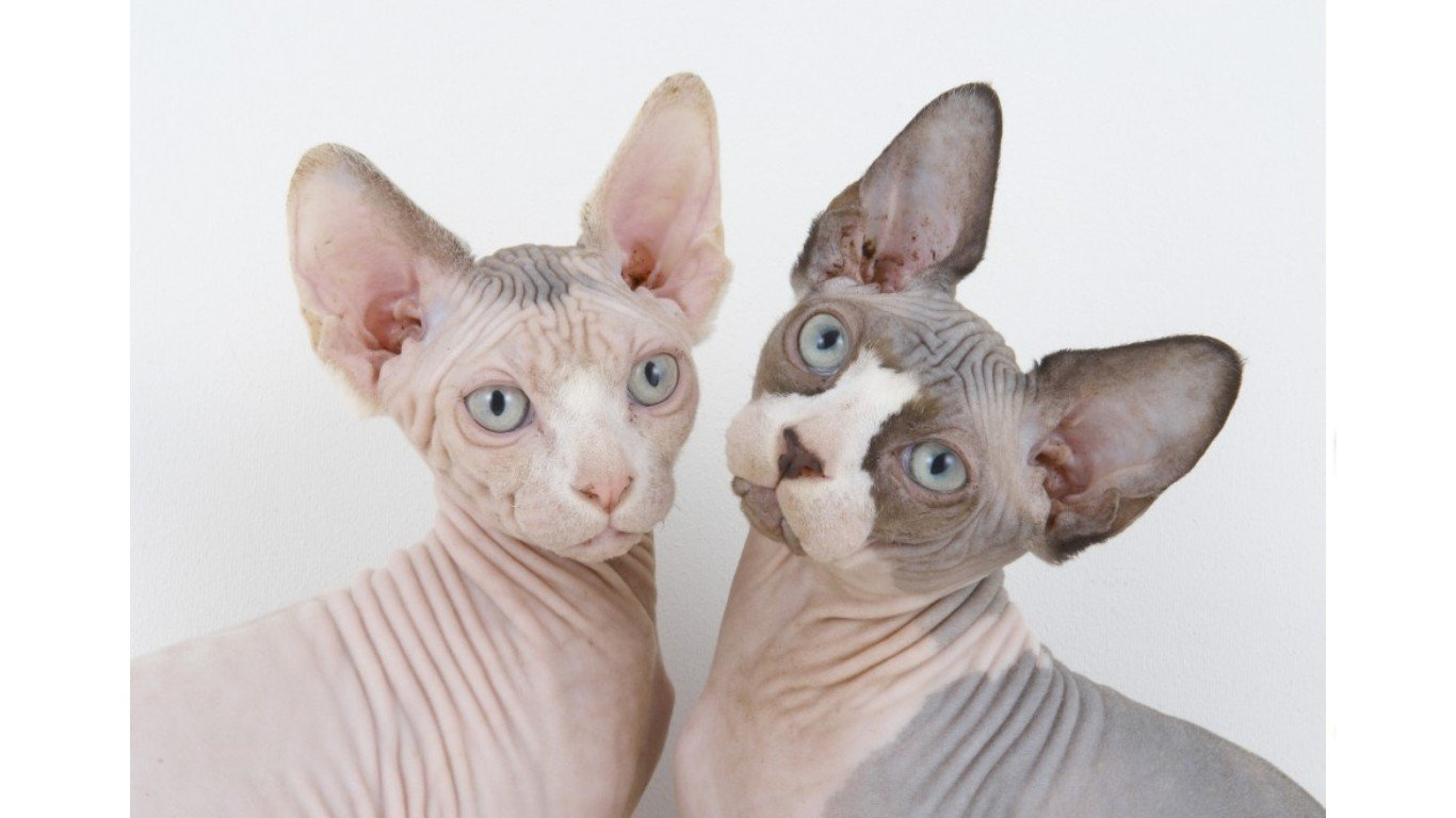 Best Sphynx Cat wallpaper ID:449316 for High Resolution hd 1366x768 computer