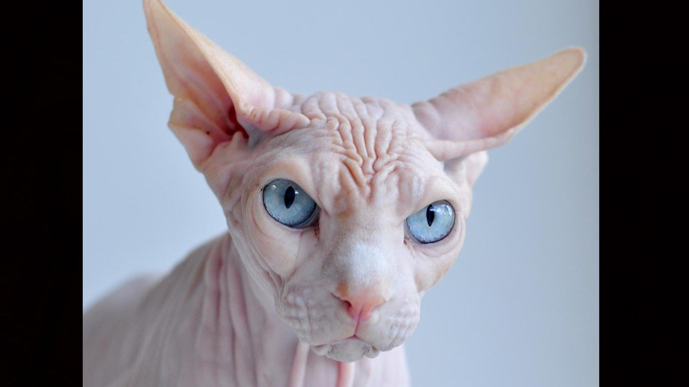 Free Sphynx Cat high quality wallpaper ID:449302 for laptop computer