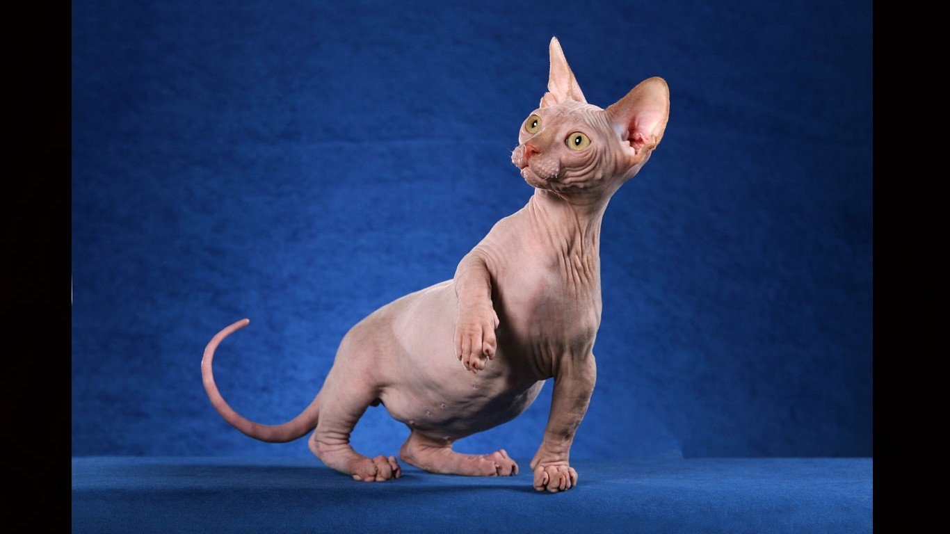 High resolution Sphynx Cat laptop wallpaper ID:449311 for desktop
