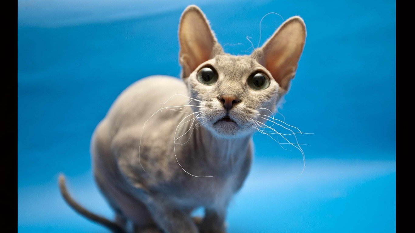Download laptop Sphynx Cat desktop wallpaper ID:449312 for free