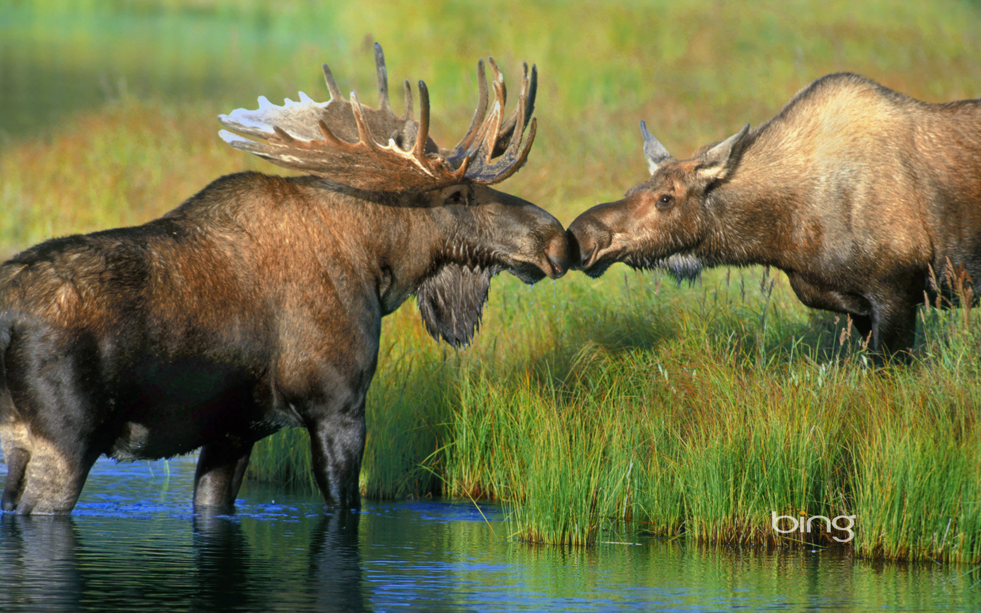 High resolution Moose hd 1920x1200 wallpaper ID:346715 for PC