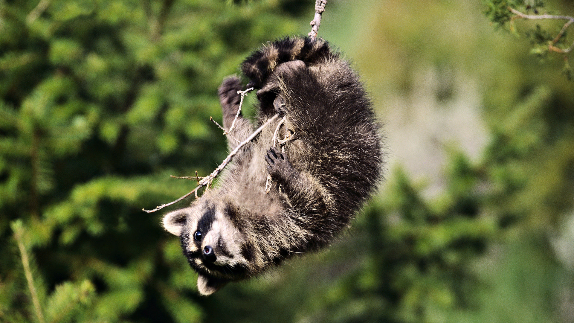 Best Raccoon background ID:185457 for High Resolution full hd 1080p computer