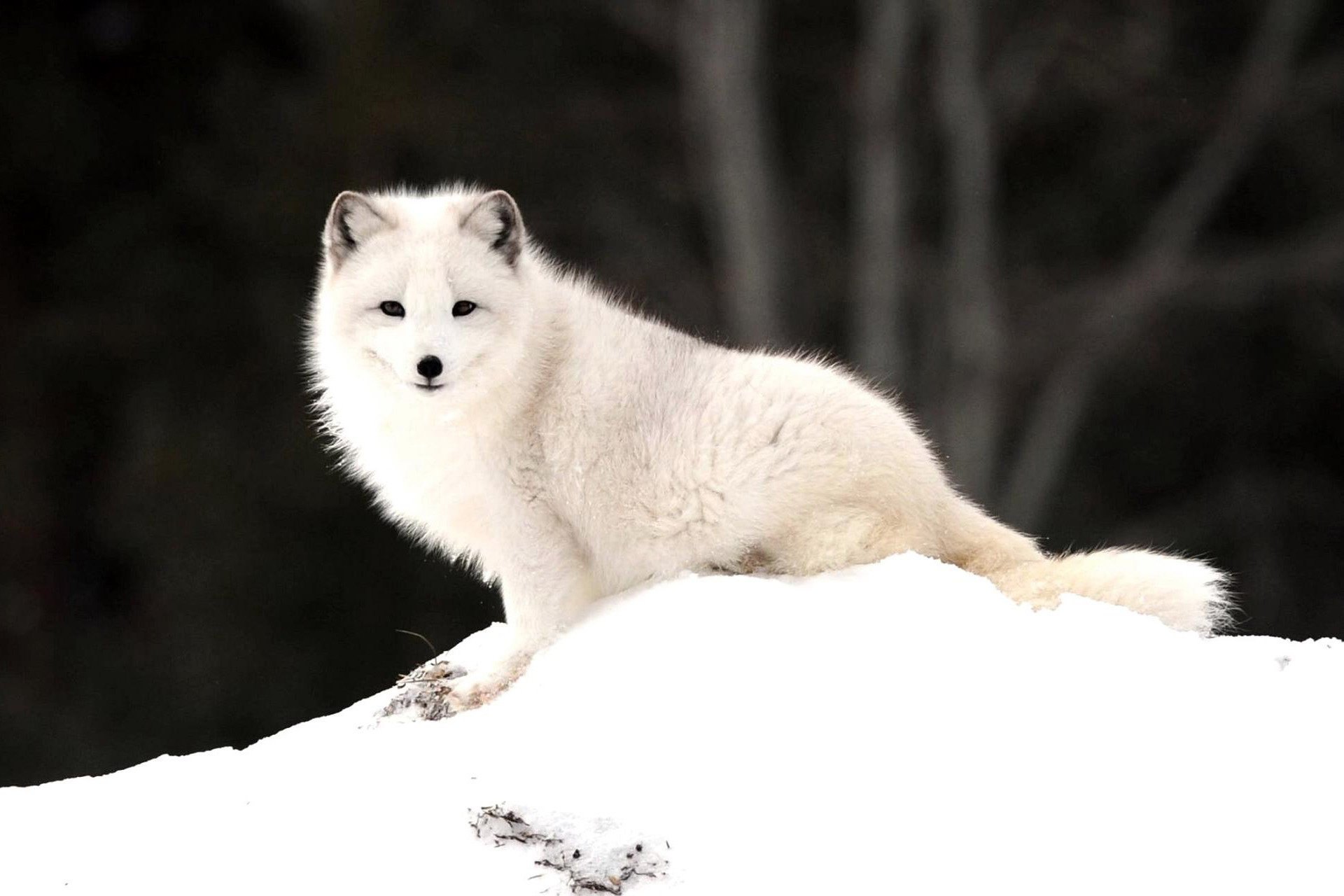 Download hd 1920x1280 Arctic Fox computer background ID:98724 for free