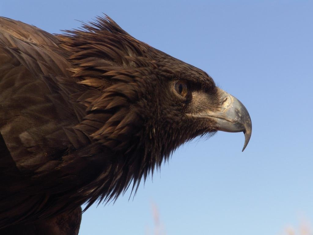 Free Eagle high quality background ID:231421 for hd 1024x768 desktop