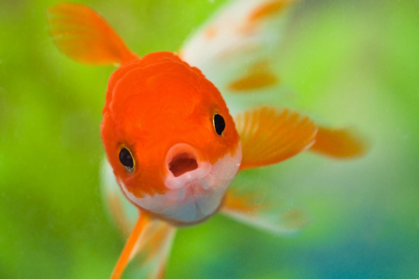 High resolution Goldfish hd 1440x960 background ID:464124 for PC