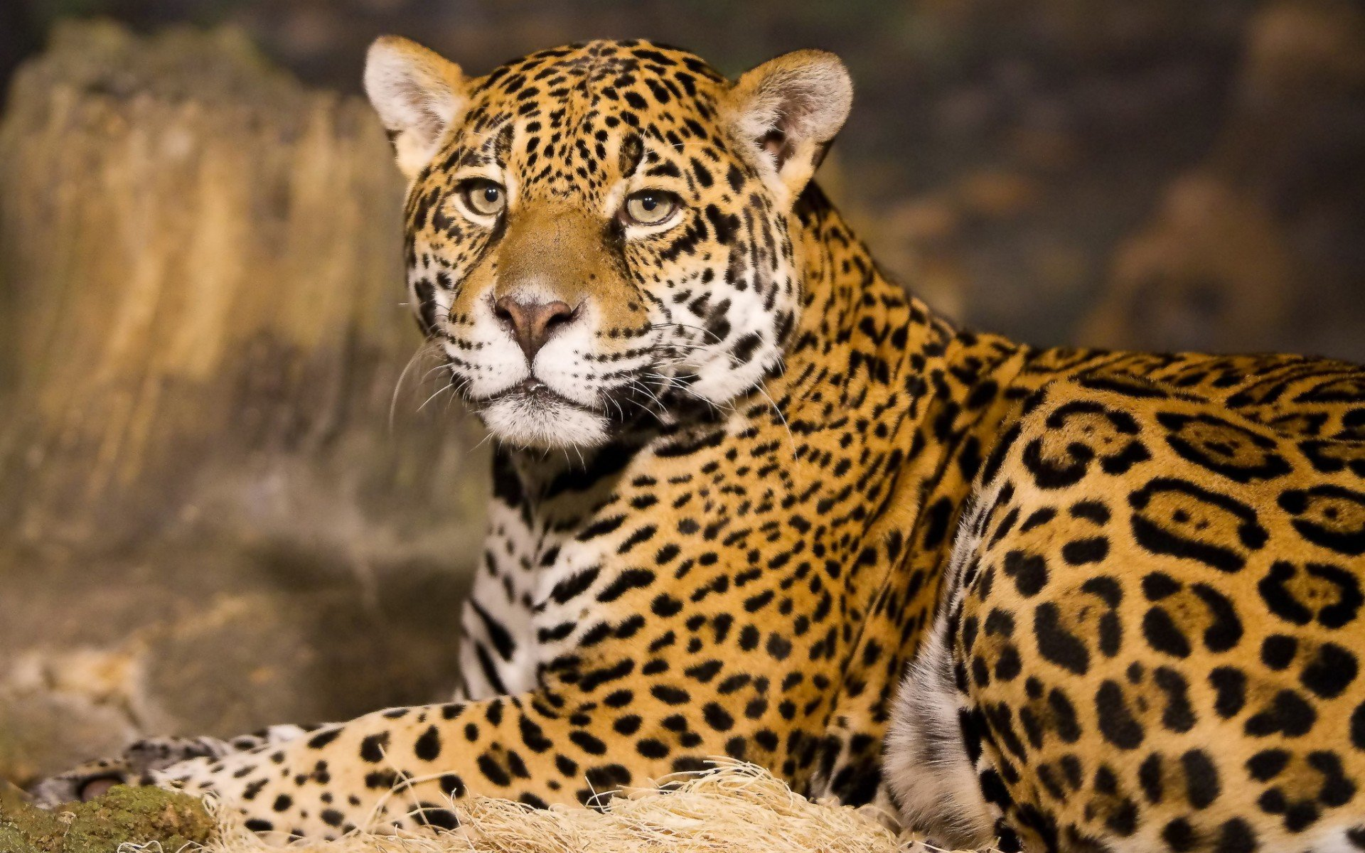 Free download Jaguar background ID:30140 hd 1920x1200 for desktop