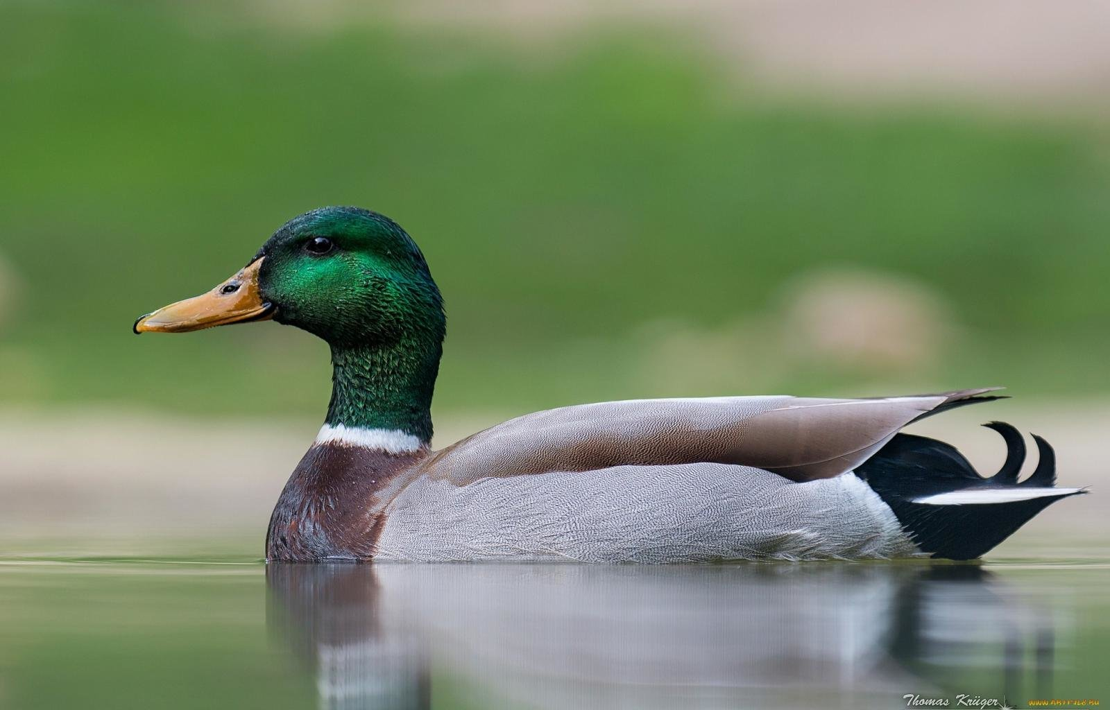 Free Mallard high quality background ID:358222 for hd 1600x1024 PC