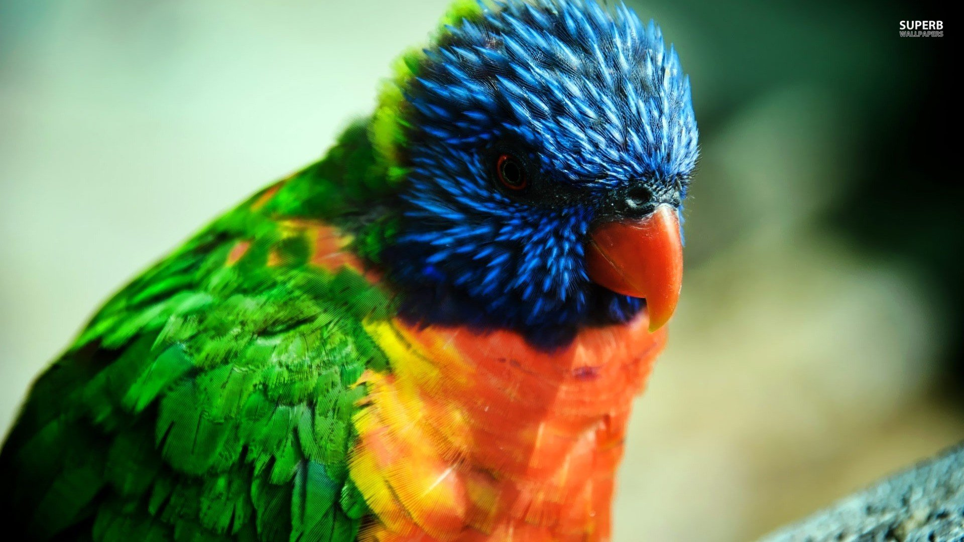Free download Rainbow Lorikeet wallpaper ID:10179 hd 1920x1080 for desktop