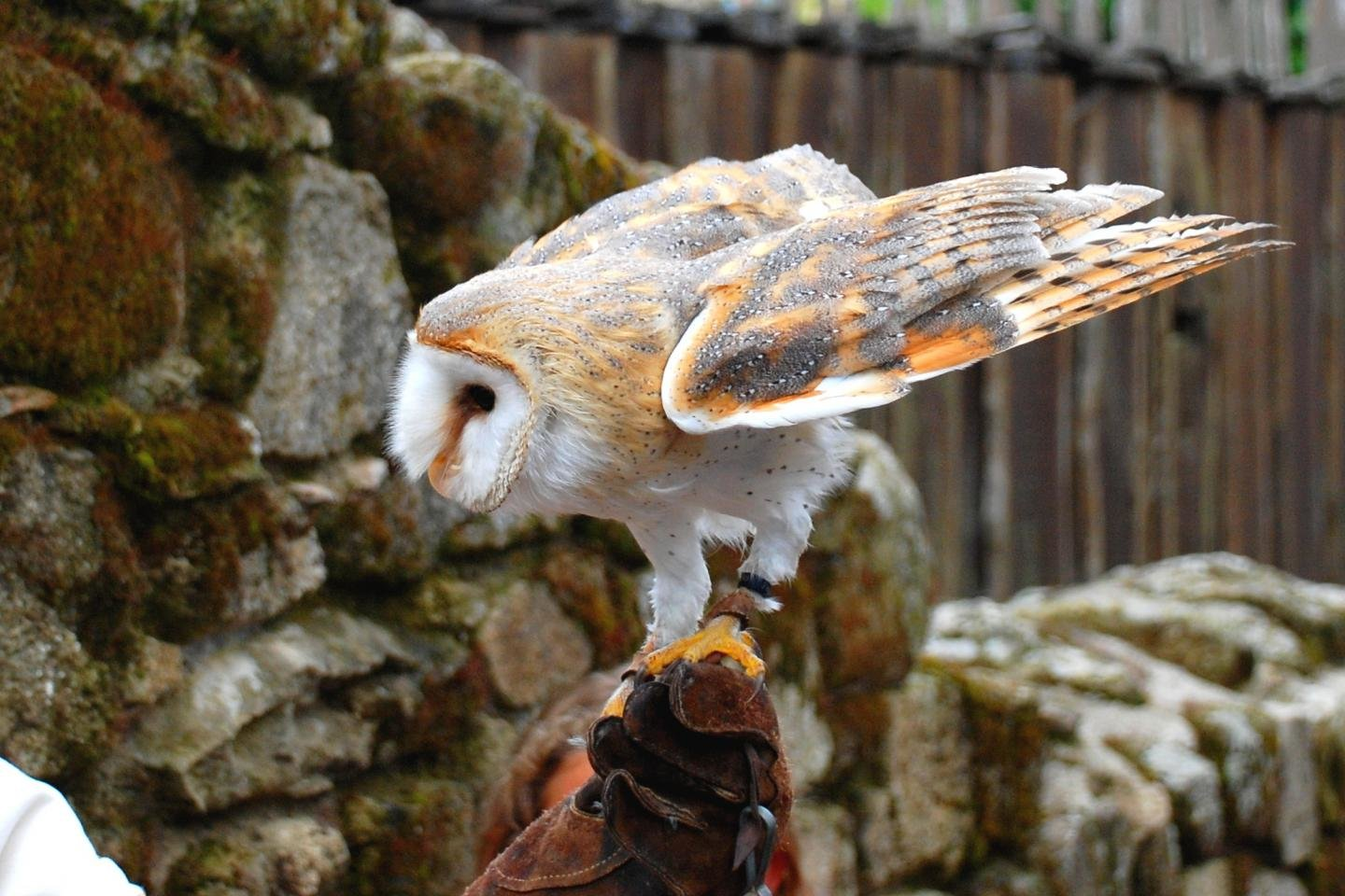 Awesome Barn Owl free background ID:81579 for hd 1440x960 desktop