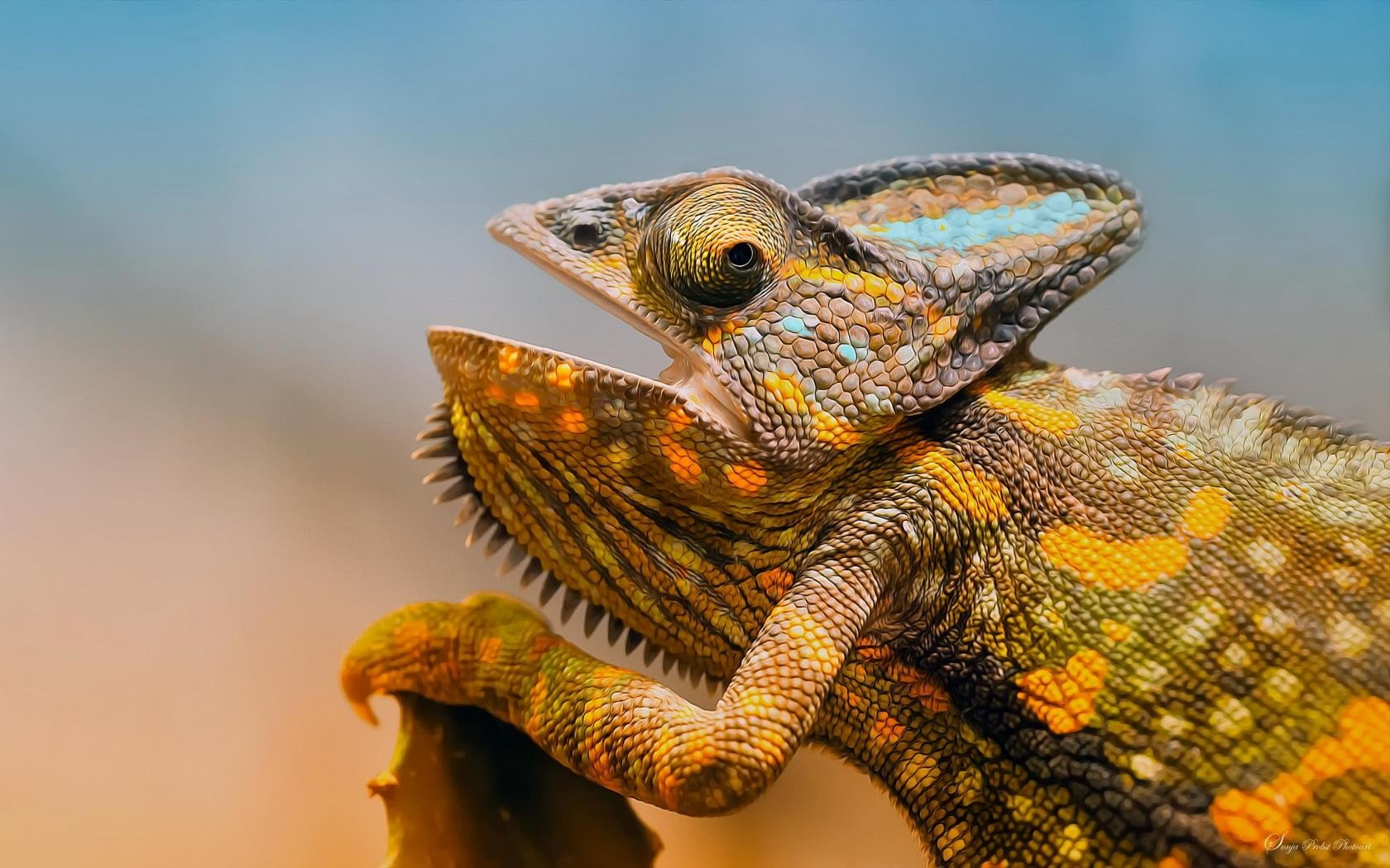 Awesome Chameleon free wallpaper ID:462596 for hd 1680x1050 PC