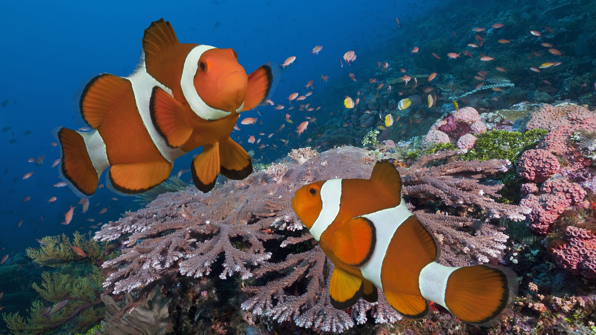 Awesome Clownfish free background ID:53233 for full hd 1920x1080 computer