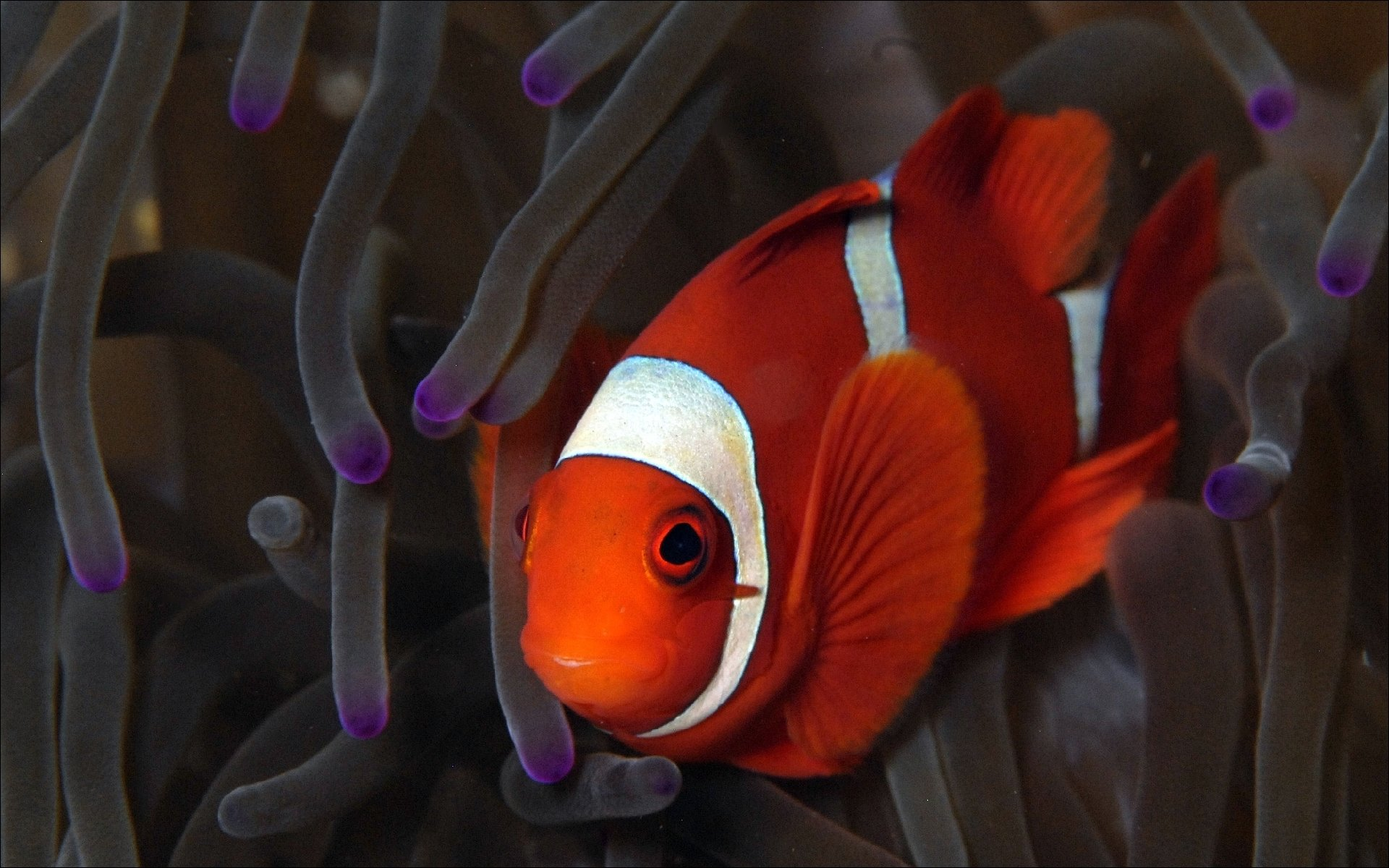 Awesome Clownfish free wallpaper ID:53226 for hd 1920x1200 desktop