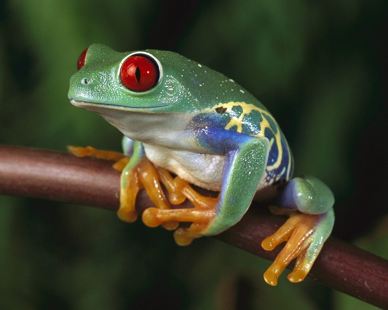 High resolution Frog hd 1280x1024 wallpaper ID:328878 for PC
