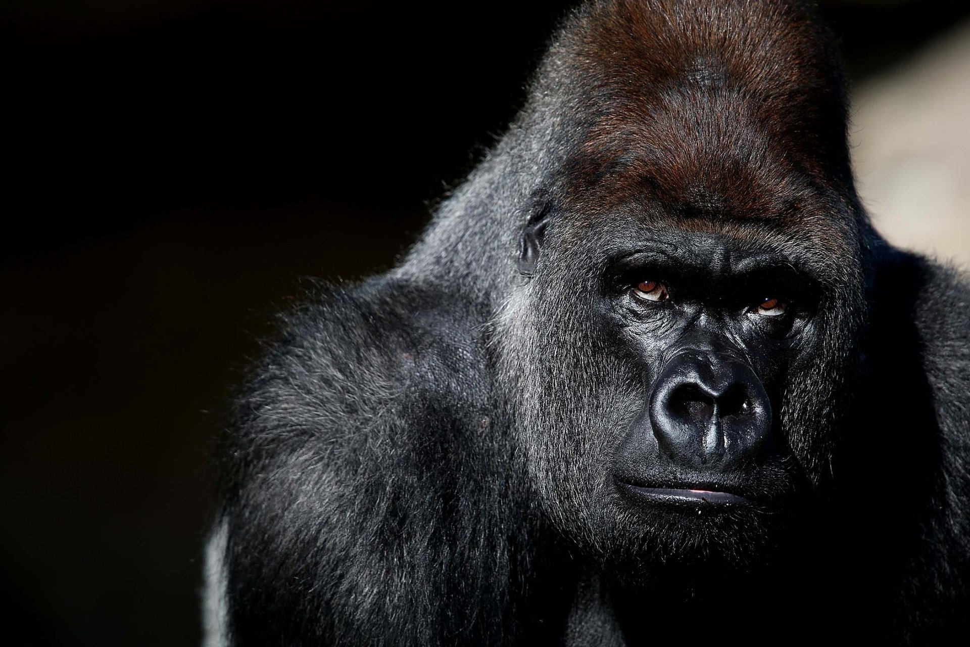 Best Gorilla background ID:145513 for High Resolution hd 1920x1280 PC