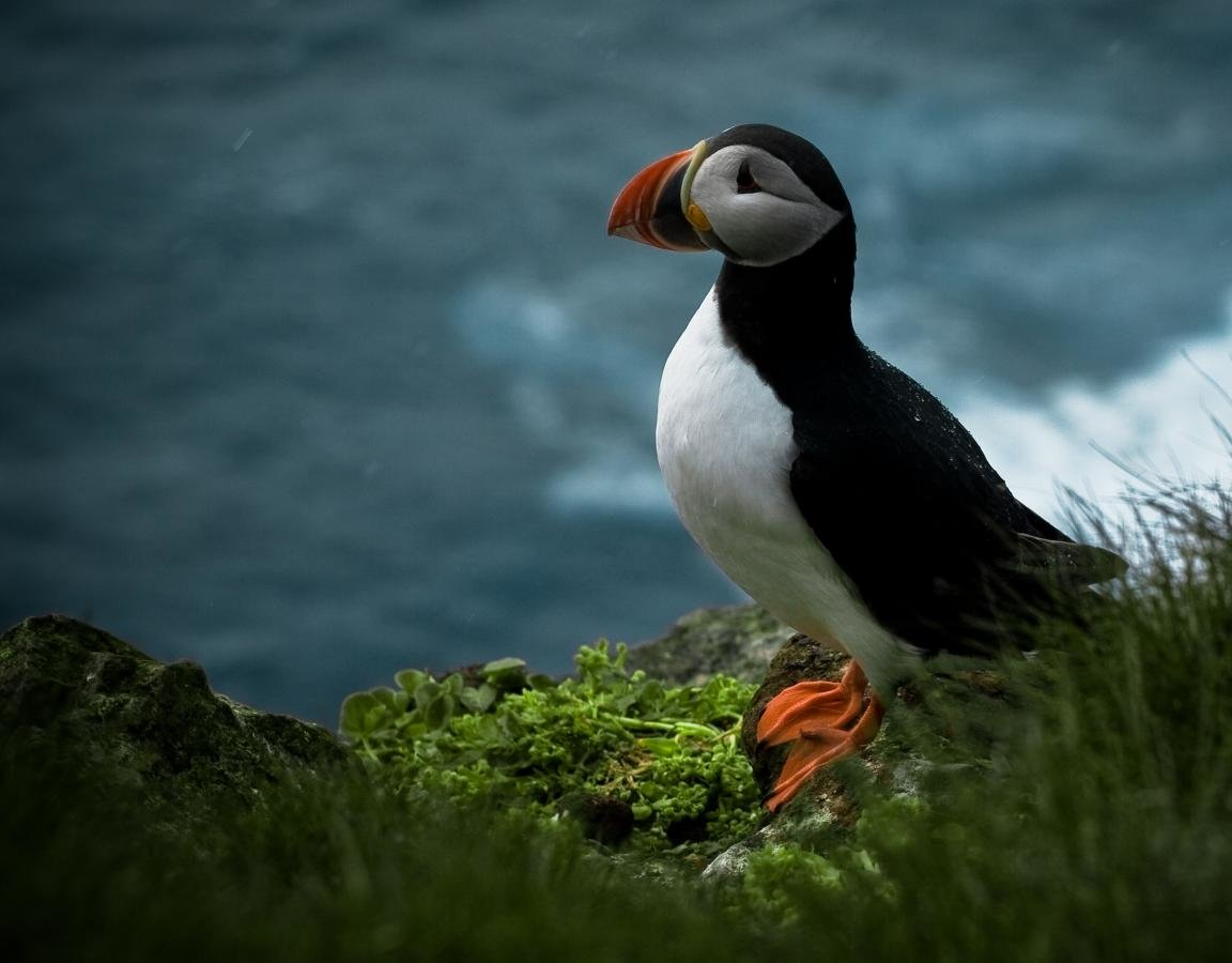 High resolution Puffin hd 1152x900 background ID:193144 for desktop