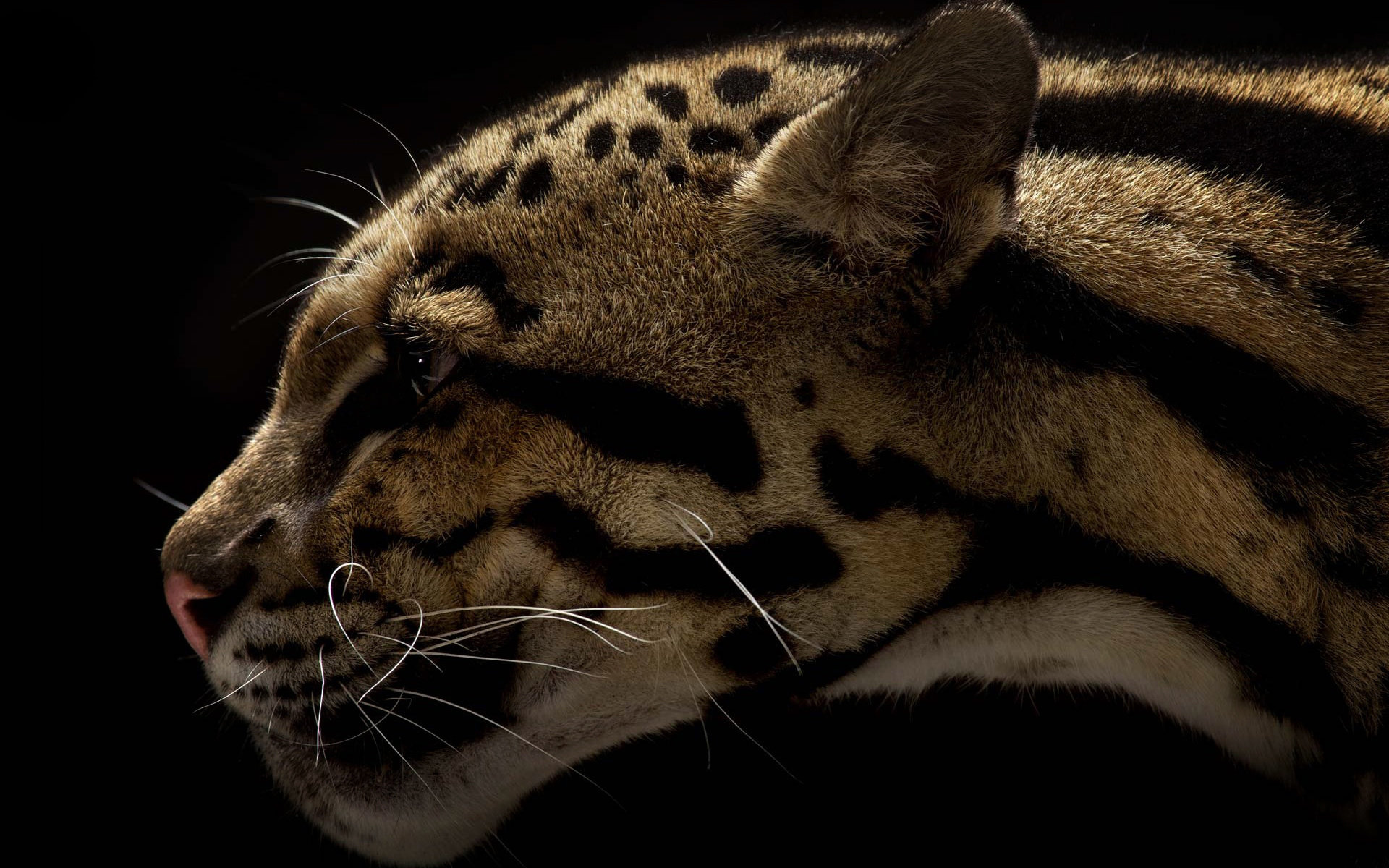 Free Clouded Leopard high quality wallpaper ID:260346 for hd 1920x1200 desktop