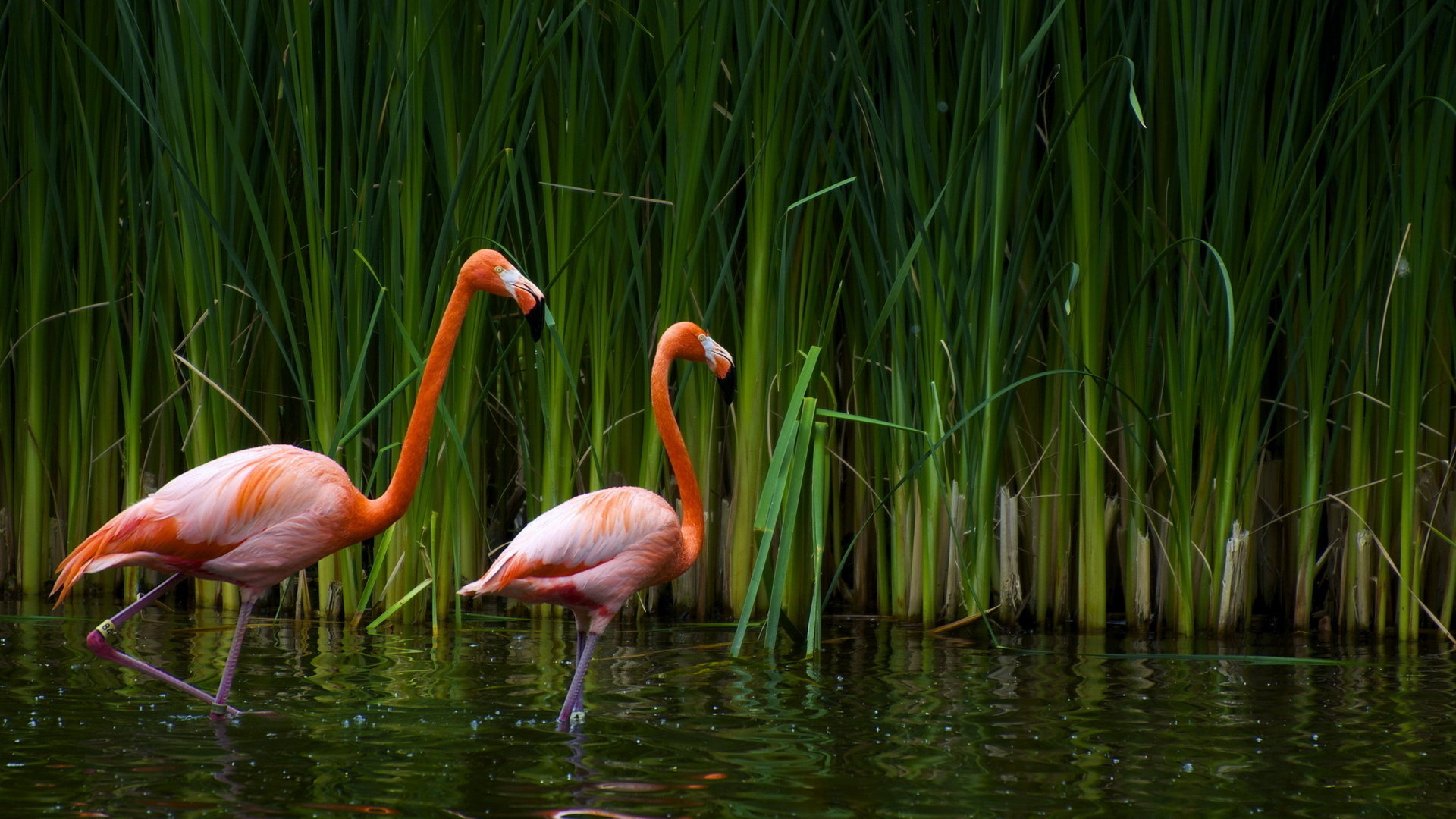 Download hd 1080p Flamingo PC wallpaper ID:66609 for free