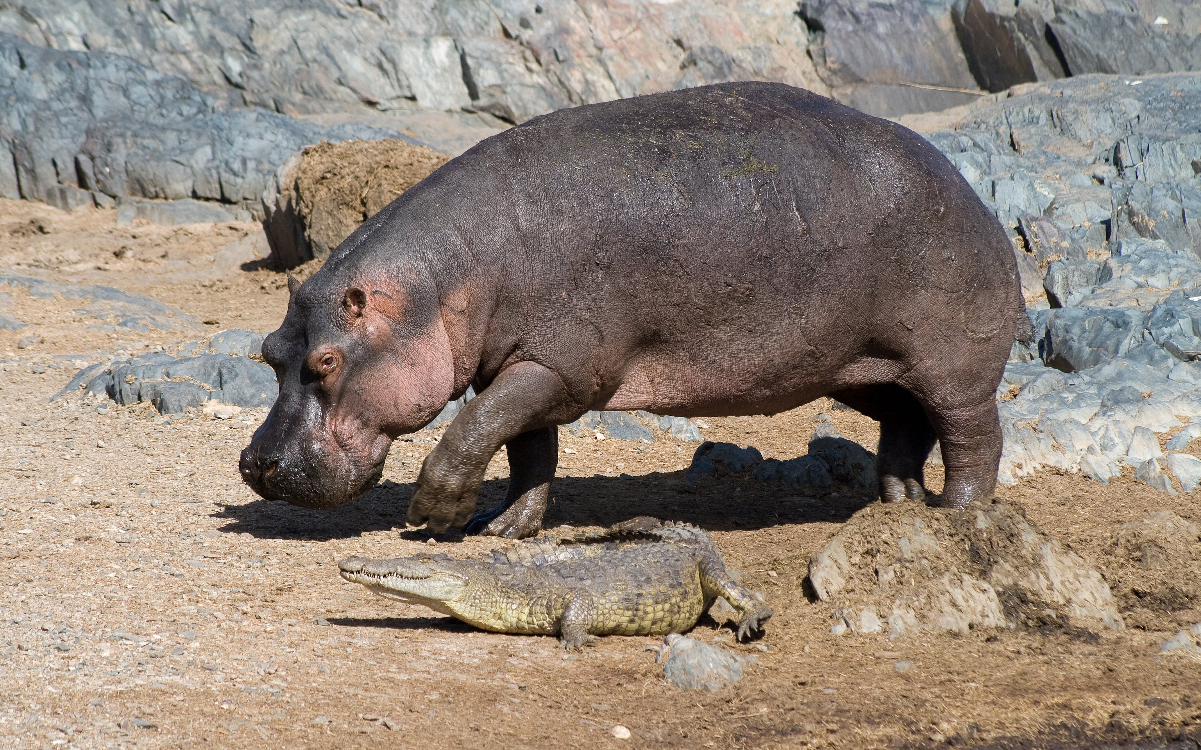 Free Hippo high quality wallpaper ID:28804 for hd 3840x2400 computer